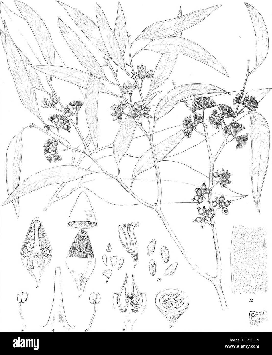 . Eucalyptographia. A descriptive atlas of the eucalypts of Australia and the adjoining islands;. Eucalyptus; Botany. -Trt-ck-.l ,â C^LlTK F-:-K diT-> ii - Sleam Lilho Ooy PrmUn^ Off ic.' K'!^': iKguljjpteg ^jm(D)m(c)g)Mi(o))m. />#. Please note that these images are extracted from scanned page images that may have been digitally enhanced for readability - coloration and appearance of these illustrations may not perfectly resemble the original work.. Mueller, Ferdinand von, 1825-1896. Melbourne, J. Ferres, Govt. Print; [etc. ,etc. ] - Stock Image