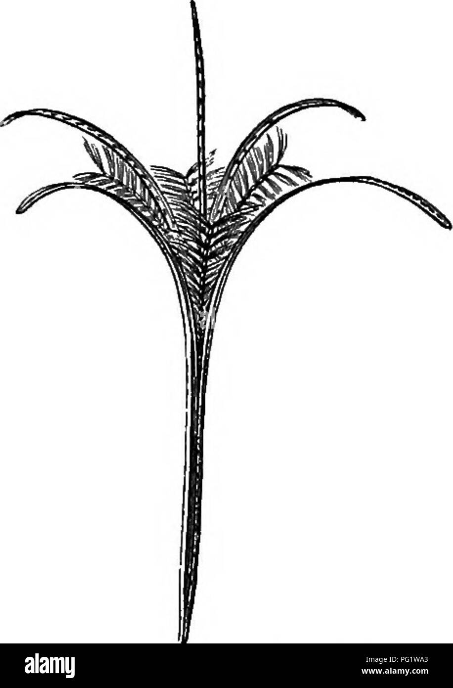 . The natural history of plants. Botany. Fig. 434. Flower. Fig. 435. Dehiscing fruit. Epilolium tpicatum.. Please note that these images are extracted from scanned page images that may have been digitally enhanced for readability - coloration and appearance of these illustrations may not perfectly resemble the original work.. Baillon, Henri Ernest, 1827-1895; Hartog, Marcus Manuel, 1851-. London, L. Reeve & Co. - Stock Image