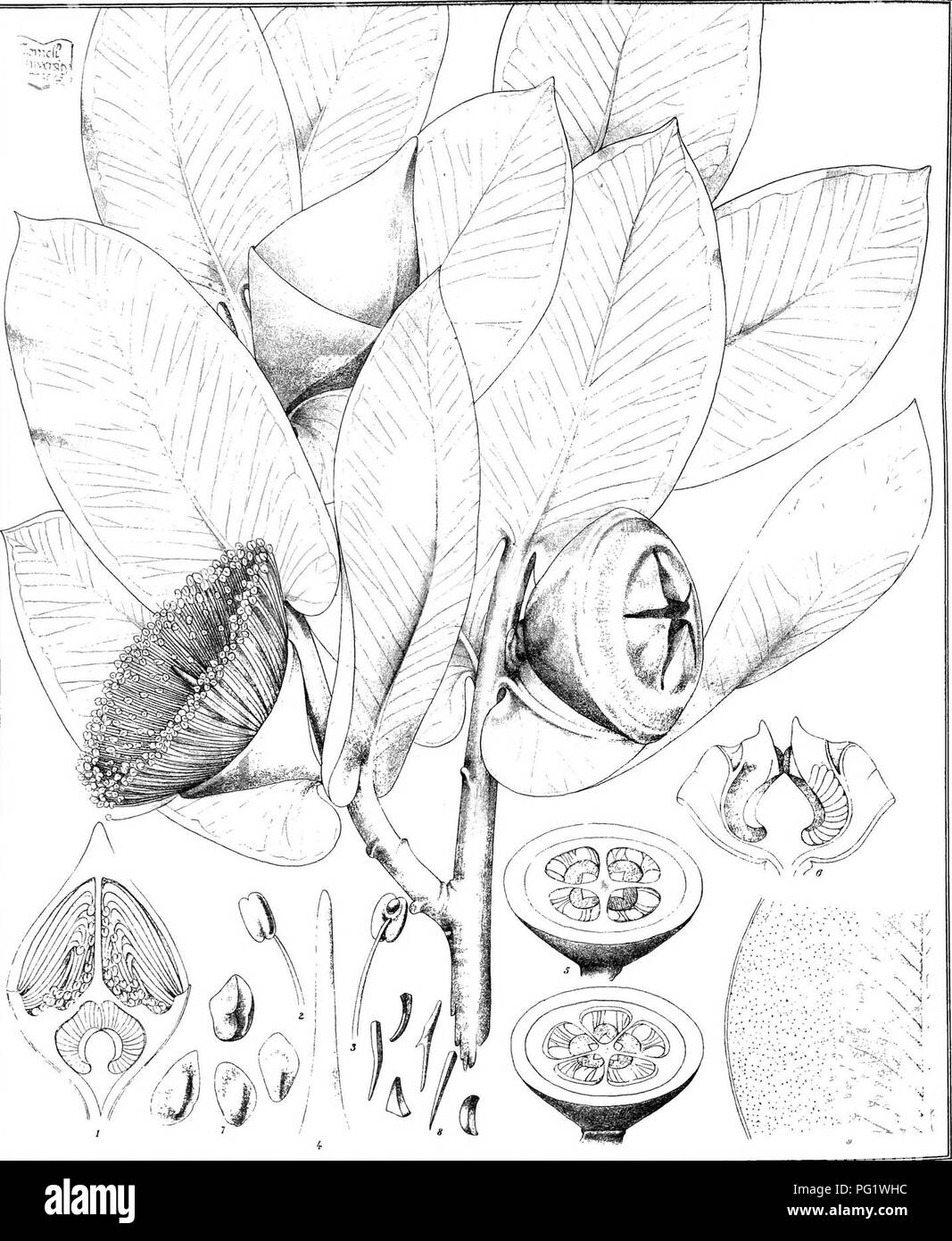 . Eucalyptographia. A descriptive atlas of the eucalypts of Australia and the adjoining islands;. Eucalyptus; Botany. Toatiel CTToeael&C:lfi. YvVl direxi> Sleam Li'tho GoT.Pruihitg OificeMelft li(g|%g)te iiiii(giP(s)^aiF]p§i.»^//^^^'9^. Please note that these images are extracted from scanned page images that may have been digitally enhanced for readability - coloration and appearance of these illustrations may not perfectly resemble the original work.. Mueller, Ferdinand von, 1825-1896. Melbourne, J. Ferres, Govt. Print; [etc. ,etc. ] - Stock Image
