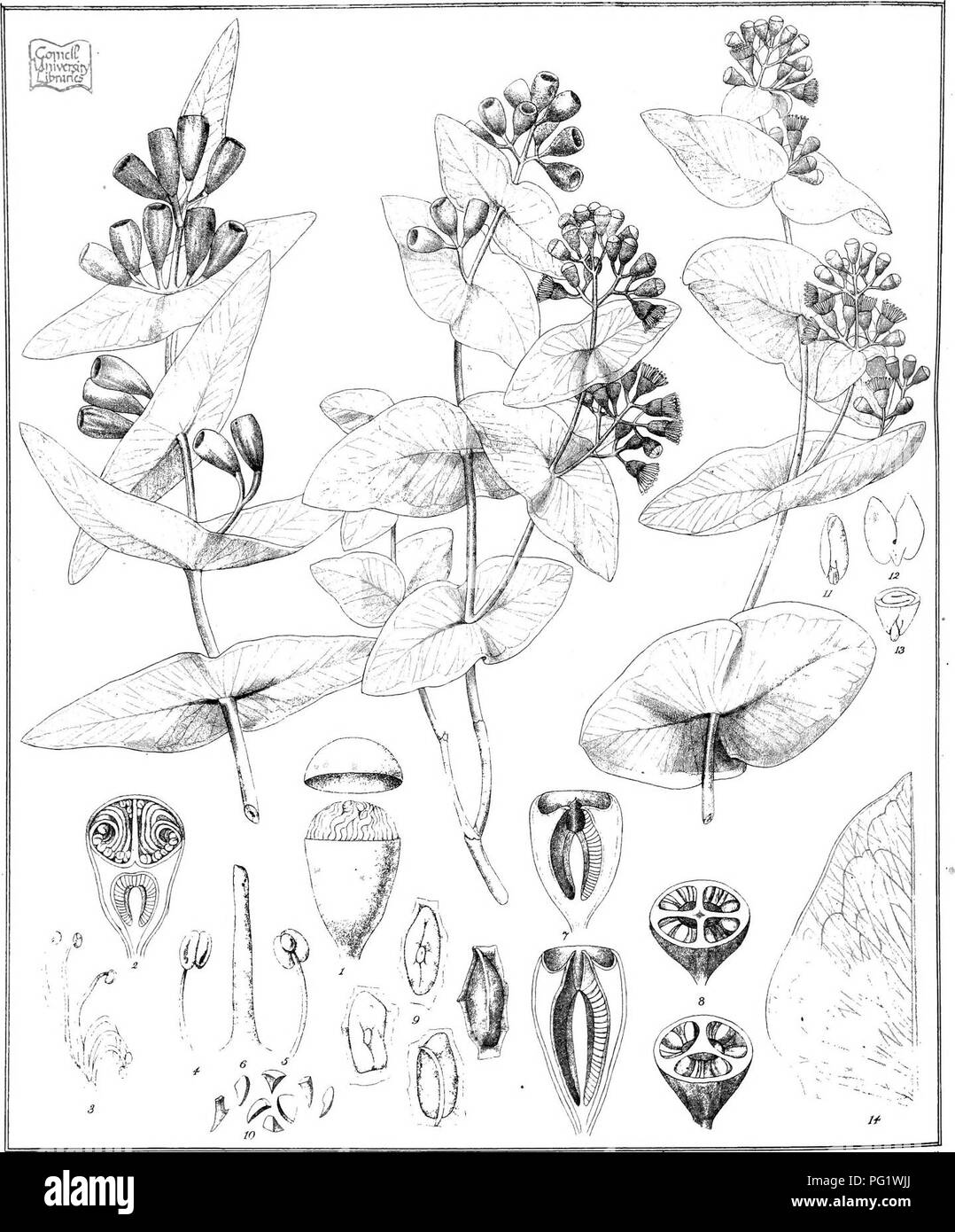 . Eucalyptographia. A descriptive atlas of the eucalypts of Australia and the adjoining islands;. Eucalyptus; Botany. T.ii deJ C Tr;:iel &. C? Lilh F. vM. direxit - Sleam liOio Sov Pnnbng Office Melb lirfjjpiiig luiBjpll'lk, FfM. Please note that these images are extracted from scanned page images that may have been digitally enhanced for readability - coloration and appearance of these illustrations may not perfectly resemble the original work.. Mueller, Ferdinand von, 1825-1896. Melbourne, J. Ferres, Govt. Print; [etc. ,etc. ] - Stock Image