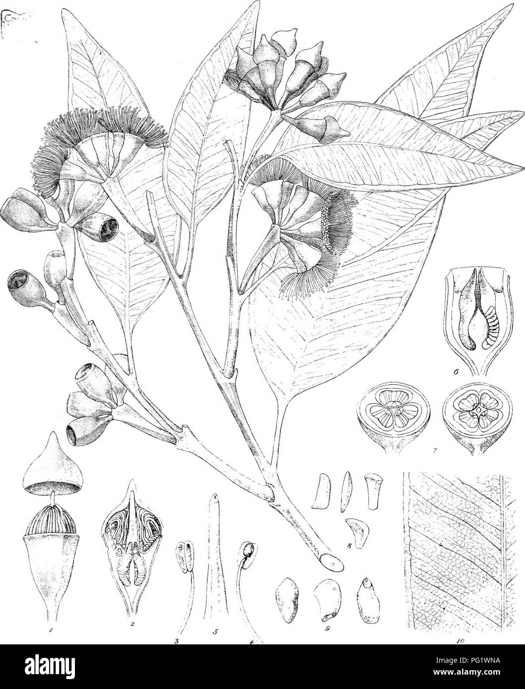 """. Eucalyptographia. A descriptive atlas of the eucalypts of Australia and the adjoining islands;. Eucalyptus; Botany. :caiae:.:TKei£:s.:-Li>K r^""""T l iipsxi^ Steam Litlio GoTr.PrmlmgOffioe.MeH)- Si(giili