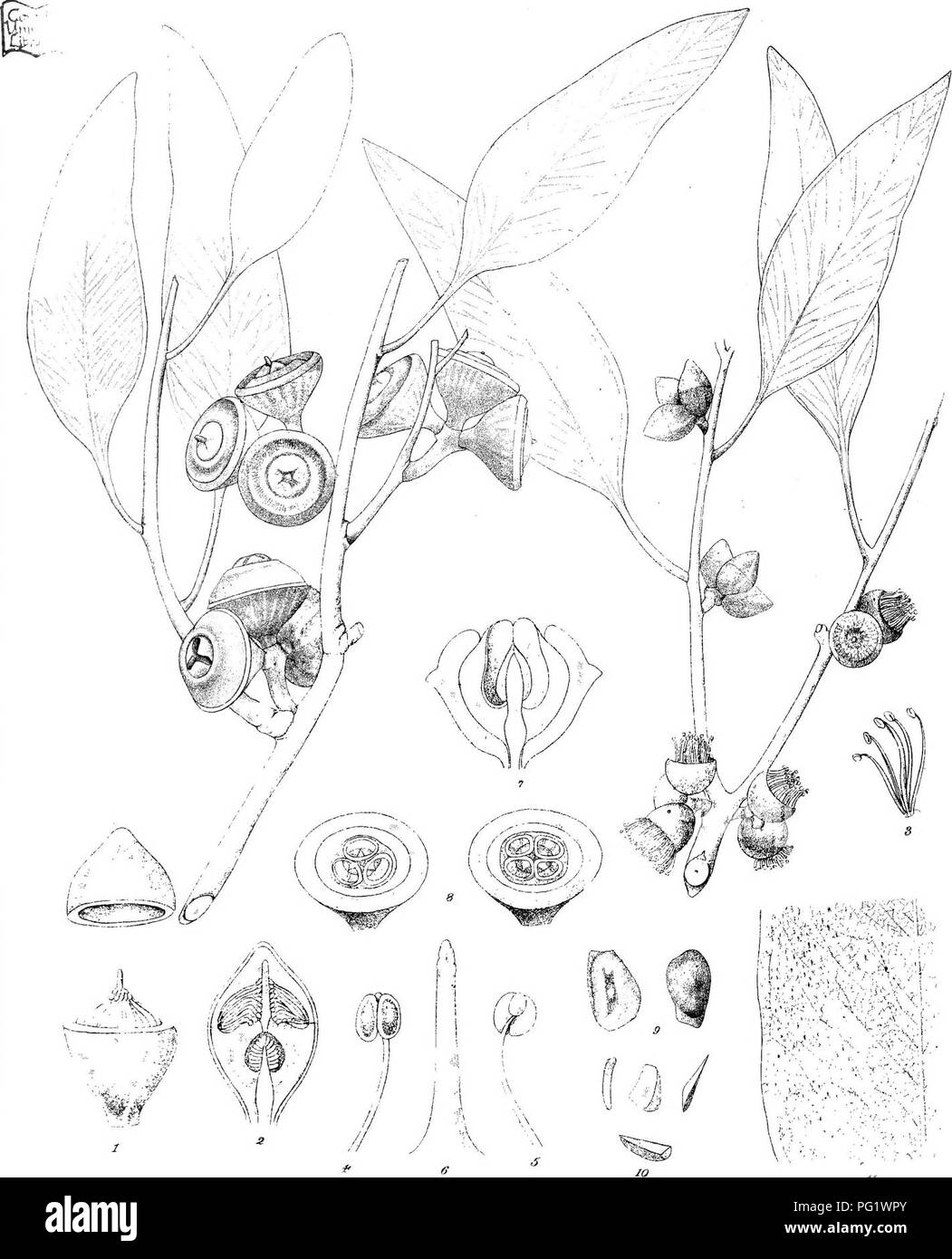 """. Eucalyptographia. A descriptive atlas of the eucalypts of Australia and the adjoining islands;. Eucalyptus; Botany. jf-/,..^j5i/xÂ«>'i;, tM''-::^ ;fi*'^'--,'i^-. m.]- t'r,r<i X"""". i/r-'X.- 'â C-f^:,:':-: !. ''.''',-':â [^)â """"  â :-"""".â '%â â ' ' ;' : '_'.'' """" â ''! â y â ' ' t ' ⢠â - > ' '-',""""'! // Tod'ifei :r-^KaC?Li'hh ']',' iirocA Sleam LiViiu Gov.PTinHusOfnee.Mell) aKgilfftii ©EtfidMi.T^i^. Please note that these images are extracted from scanned page images that may have been digitally enhanced for readability - coloration and appearance of these - Stock Image"""