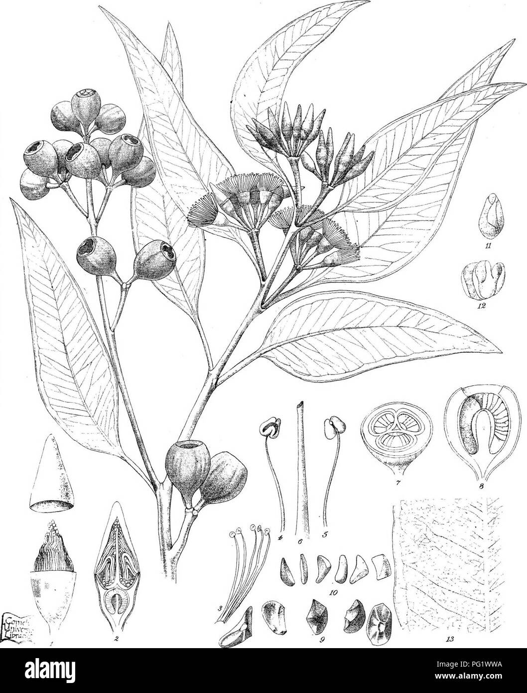 . Eucalyptographia. A descriptive atlas of the eucalypts of Australia and the adjoining islands;. Eucalyptus; Botany. TodTidel. CTrsead. S^C'^LiWi F.tK iirexit S^aamliao eo7Pr:r.hnS l-'fiiC!:. Weis !i(@ii]l|]ptei smfiiiiiiiii, Smith.. Please note that these images are extracted from scanned page images that may have been digitally enhanced for readability - coloration and appearance of these illustrations may not perfectly resemble the original work.. Mueller, Ferdinand von, 1825-1896. Melbourne, J. Ferres, Govt. Print; [etc. ,etc. ] - Stock Image