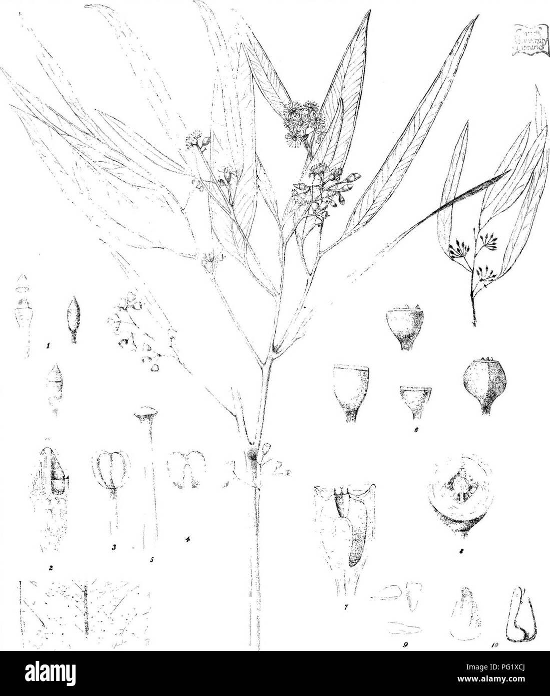 1860faf1e36a Eucalyptus  Botany. RAusten del. CTroedel  amp  C  Lith F.v.M.direxrl.  Steam Lrtto fiov. Itinling Olfwe Molk SmigliltetllS .(gI£»(S b2 ll» FyM.