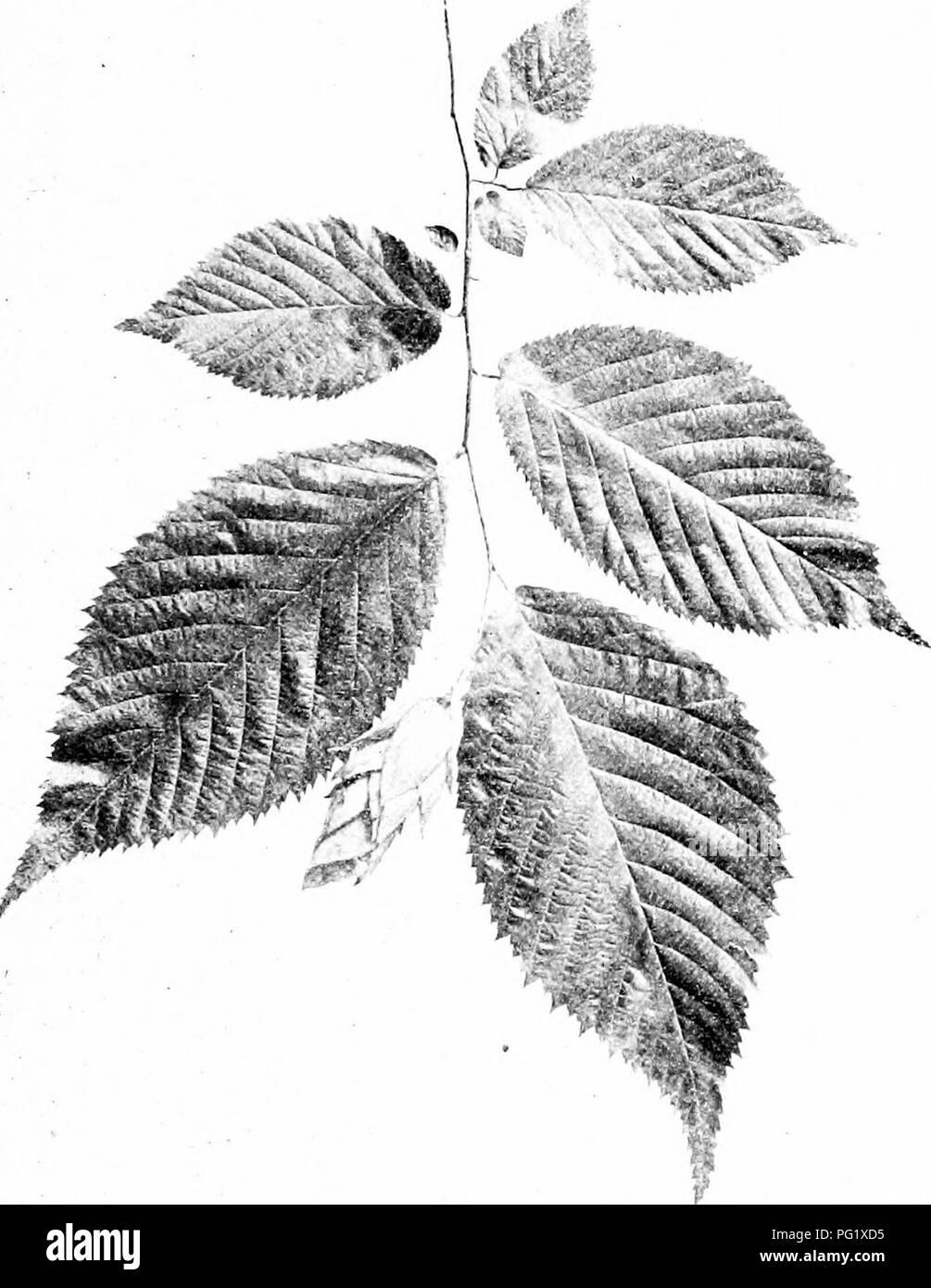 . Our native trees and how to identify them; a popular study of their habits and their peculiarities. Trees. HOP HORNBEAM. Fruiting Spray uf Hop Hornbeam, Ostiya virgunaim. Leaves 3' to 5' long.. Please note that these images are extracted from scanned page images that may have been digitally enhanced for readability - coloration and appearance of these illustrations may not perfectly resemble the original work.. Keeler, Harriet L. (Harriet Louise), 1846-1921. New York, C. Scribner's Sons - Stock Image