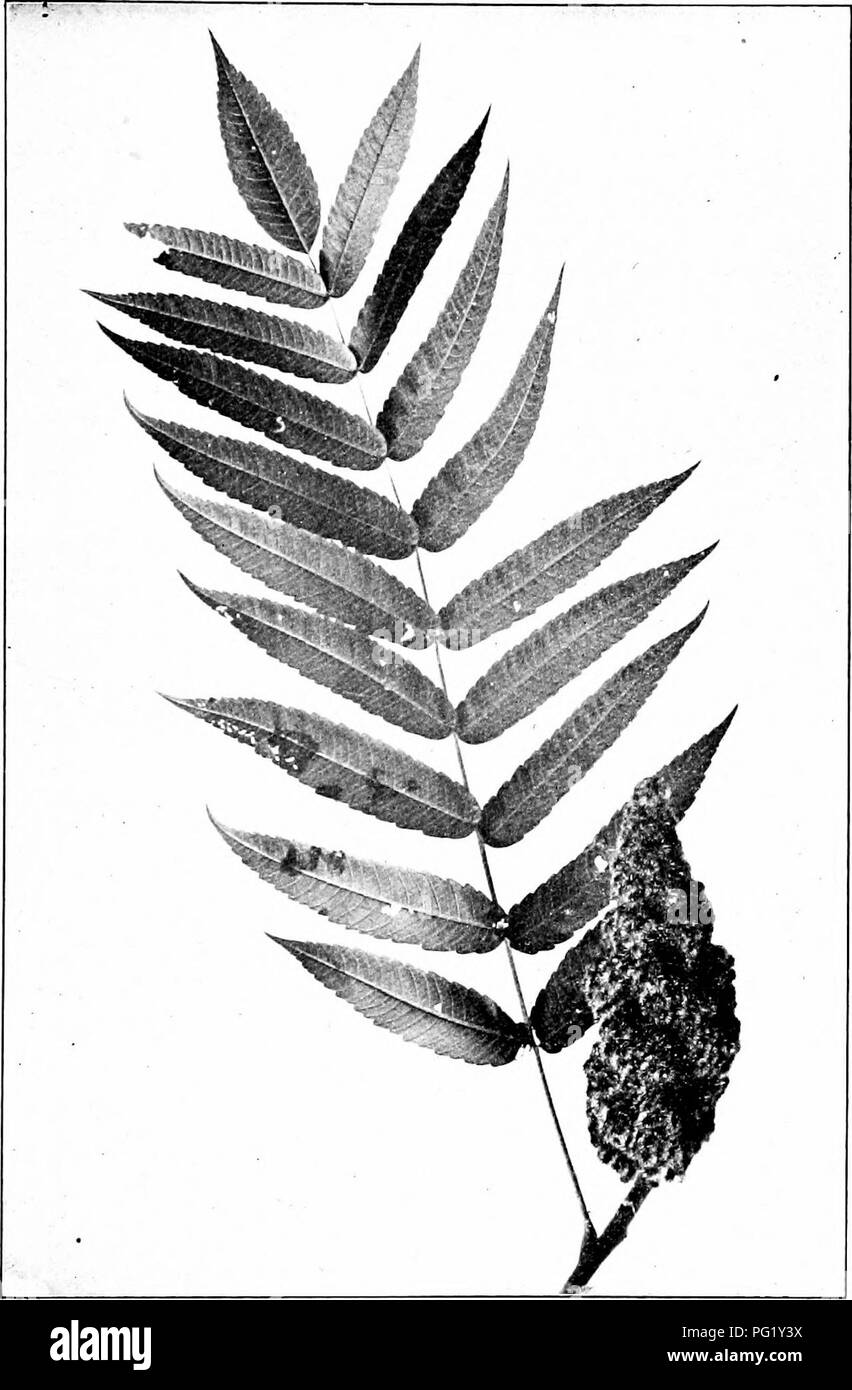 . Our native trees and how to identify them; a popular study of their habits and their peculiarities. Trees. STAGHORN SUMACH. Fruit and Leaf of Staghorn Sumach, Rbm hirta. Leaves |6' to 24' long. Leaflets 2' to 5' long.. Please note that these images are extracted from scanned page images that may have been digitally enhanced for readability - coloration and appearance of these illustrations may not perfectly resemble the original work.. Keeler, Harriet L. (Harriet Louise), 1846-1921. New York, C. Scribner's Sons - Stock Image