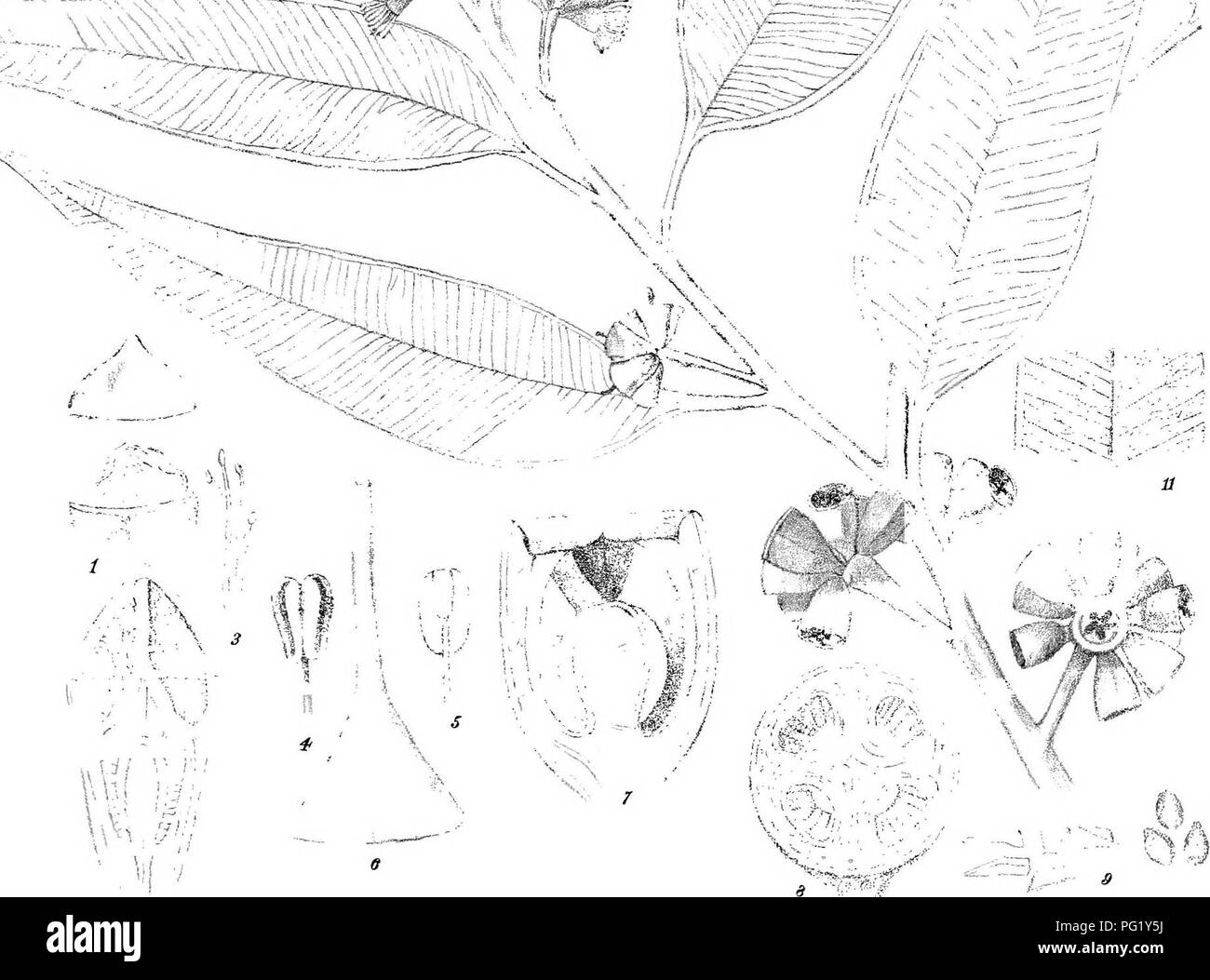 . Eucalyptographia. A descriptive atlas of the eucalypts of Australia and the adjoining islands;. Eucalyptus; Botany. .-, V ;i.-. -f .-,7 ^. ^- 10 aAu^;n del. Cfroedel & G° Lrth. F.v-M. drpexrt- Stenm Lttho Gov. Printing Office Melt. Sm(gii^^ws ]£)(s)(iff©M(|g. Smith.. Please note that these images are extracted from scanned page images that may have been digitally enhanced for readability - coloration and appearance of these illustrations may not perfectly resemble the original work.. Mueller, Ferdinand von, 1825-1896. Melbourne, J. Ferres, Govt. Print; [etc. ,etc. ] - Stock Image