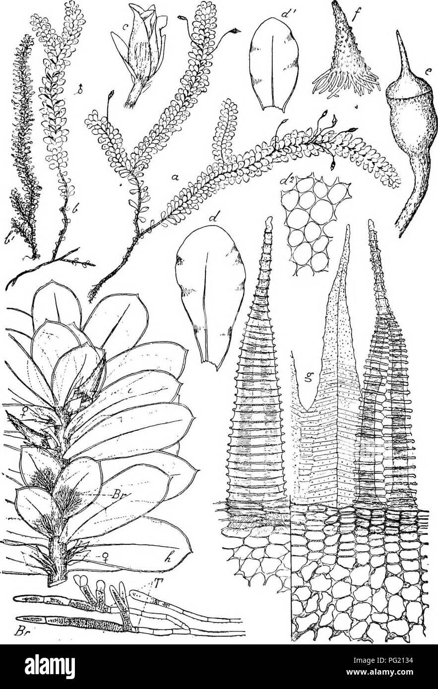 ". Flore de Buitenzorg. Botany. 996. Fig. 170. Distichopliyttum Osterwatdii FlscH. a. Habitusbild (nntiirl. Giosse). b. cj"" Pflanzo. }' ^f Pflanze trocken (natiu'l. Grosso) c. d"" Bliite. d. Soitliolies, d'- vovderes Laubblatt '-P. rf"". Blattzellen ^-^. c. Sporo- gon V- /• Haube '/. g. Povistom dorsal, Zahu links ventral gesohon —^. J), tortile V. D. B. et Lac. h, Sprossendo dos Stengels mlt termiaalem Bliitenstand. i. junges Sporogon. Br. Blattbiirtige Brutfiidon mit T. = Tragerzellen ^7—.. Please note that these images are extracted from scanned page images that may have been d Stock Photo"