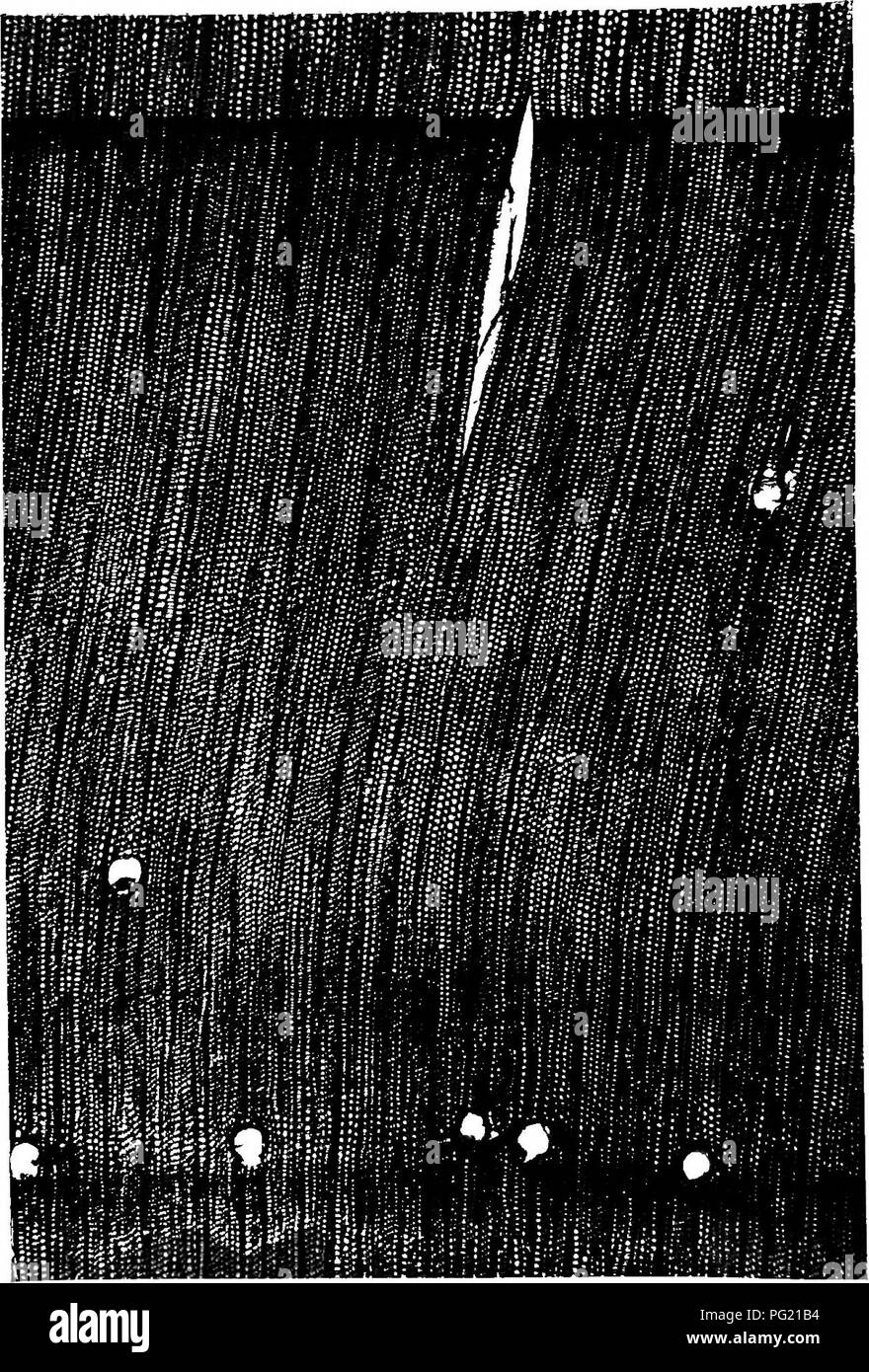 . Familiar trees. Trees. TRANSVERSE SECTION OF WOOD OF STONE PINE IX 30 DIAMETERS).. Please note that these images are extracted from scanned page images that may have been digitally enhanced for readability - coloration and appearance of these illustrations may not perfectly resemble the original work.. Boulger, George Simonds, 1853-1922. London, New York, Cassell - Stock Image