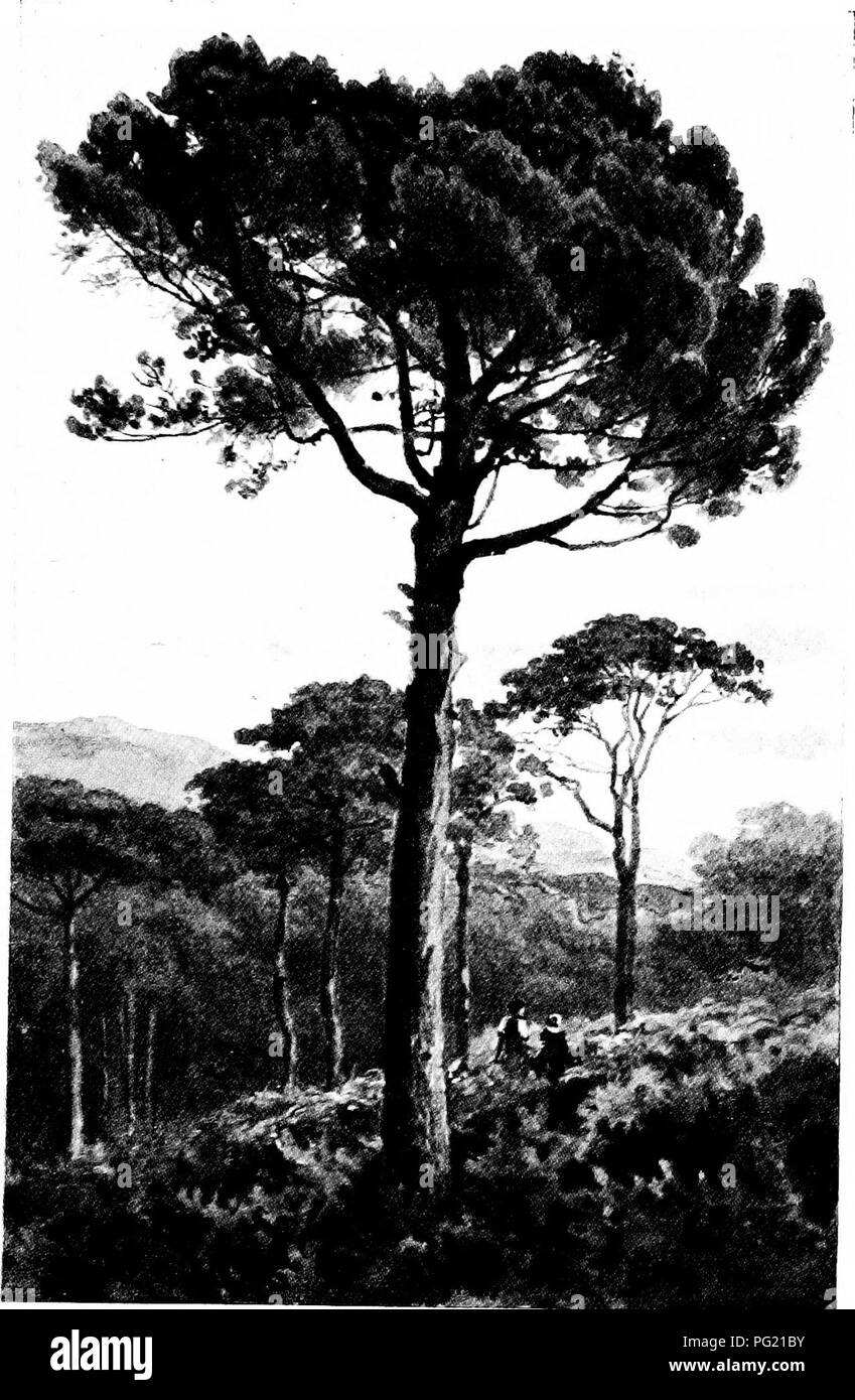 . Familiar trees. Trees. STONE PINE.. Please note that these images are extracted from scanned page images that may have been digitally enhanced for readability - coloration and appearance of these illustrations may not perfectly resemble the original work.. Boulger, George Simonds, 1853-1922. London, New York, Cassell - Stock Image