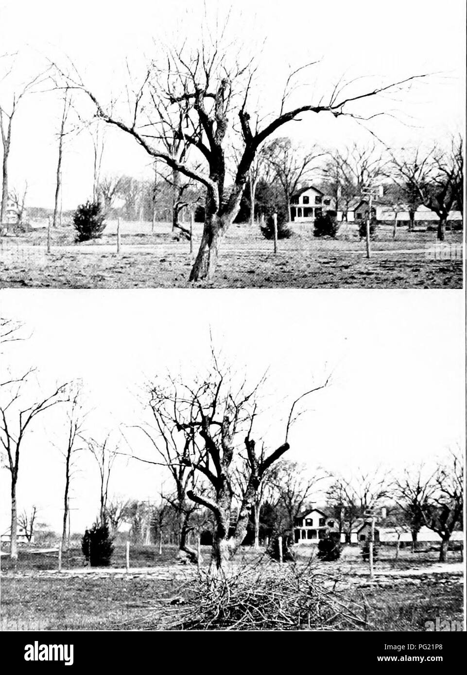 """. Around the year in the garden, a seasonable guide and reminder for work with vegetables, fruits, and flowers, and under glass. Gardening; Vegetable gardening. Plate 29.—New trees from old! Third: Two years later: many, vigorous new, young branches, again beginning to get crowded. Fourth: Pruned again; much of the old wood left the first time, removed; a """" head """" of healthy, young wood, that can be trained into a low, spreading tree, on the old foundation.. Please note that these images are extracted from scanned page images that may have been digitally enhanced for readability - co - Stock Image"""