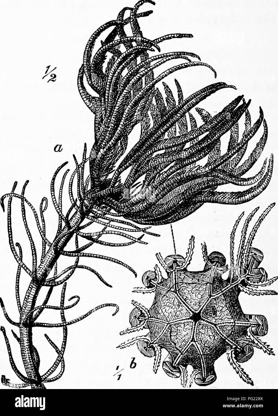 . Zoology : for students and general readers . Zoology. 102 ZOOLOGY. to RMzocrinus, and was dredged in the Bay of Biscay at the depth of 2435 fathoms. B. Aldrichianus occurred in 1850 fathoms, latitude 1° 47' K, longitude ?A° 26' W., oS the coast of Brazil. With it and also near the Orozet Islands occurred the interesting Hyocrinus BetheUianus AVyville-Thompson, which bears in some points resemblance to the palaeozoic genus, Platycrinus.. Pig. 04.—a, Pentamnu.9 caput-medusai, half natural size: *, calyx-disk Been from above, natnral size.—From Brehm's TMerleben. The most widely distributed spe - Stock Image