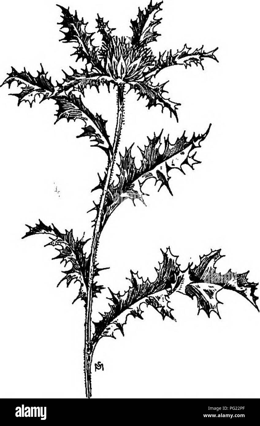 . A manual of weeds : with descriptions of all the most pernicious and troublesome plants in the United States and Canada, their habits of growth and distribution, with methods of control . Weeds. COMPOSITAJE (COMPOSITE FAMILY) 5ic and softly woolly. Leaves alternate, three to six inches long, lance- shaped in outline but deeply cut and lobed, the margins toothed and very spiny; they are rather thin, net-veined, hairy, the lower ones narrowing to margined petioles, the upper ones sessile and clasp- ing. Heads large, solitary, terminal, closely surrounded by the upper leaves, deep yellow, about - Stock Image