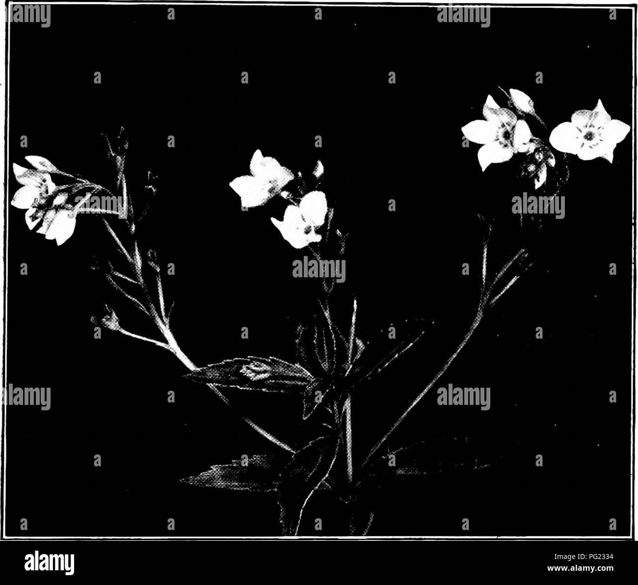 Plants of New Zealand   Botany  THE SNAP-DRAGON FAMILY 883