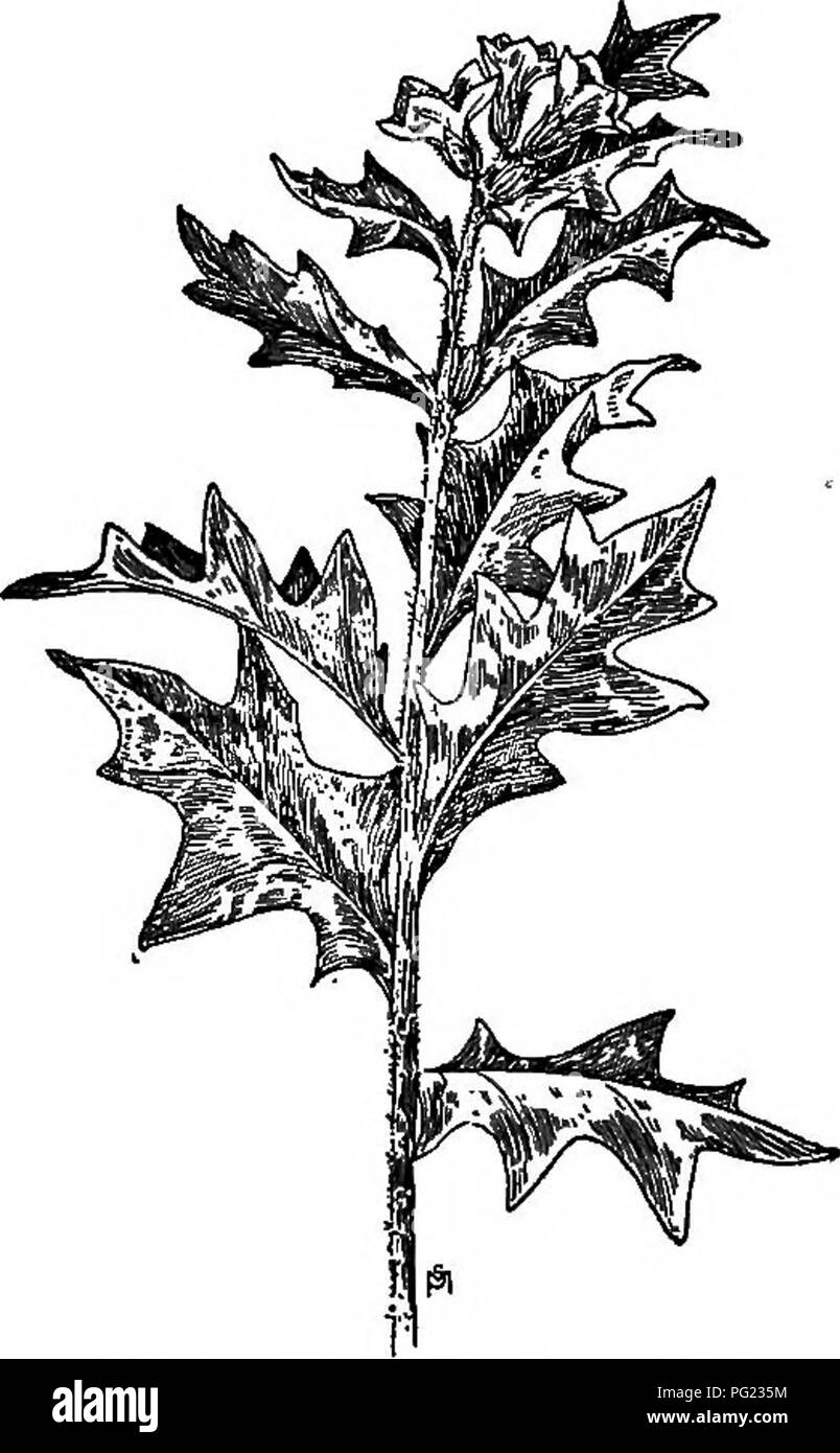 Solanaceae Nightshade Family Black And White Stock Photos Images How Do You Draw Floral Diagram Of A Manual Weeds With Descriptions All The Most Pernicious Troublesome Plants