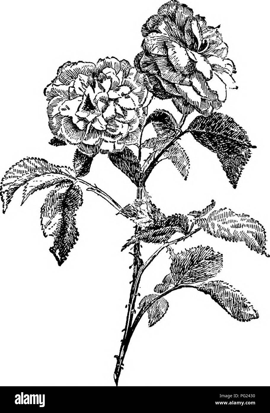 . Manual of gardening : a practical guide to the making of home grounds and the growing of flowers, fruits, and vegetables for home use . Gardening. 318 MANUAL OF GARDENING Bougainvillea, Bougainvillma glabra and B. spectabilis. The magenta-flowered variety, sometimes seen in conservatories in the North, is a popular outdoor vine in the South and is profusely used in south- ern California. The red-flowered form is less seen, but is preferable in color. Wire-vine (polygonum of florists), Muehlenheckia complexa. Abundantly used on buildings and chimneys in southern California. Climbing roses. Th - Stock Image