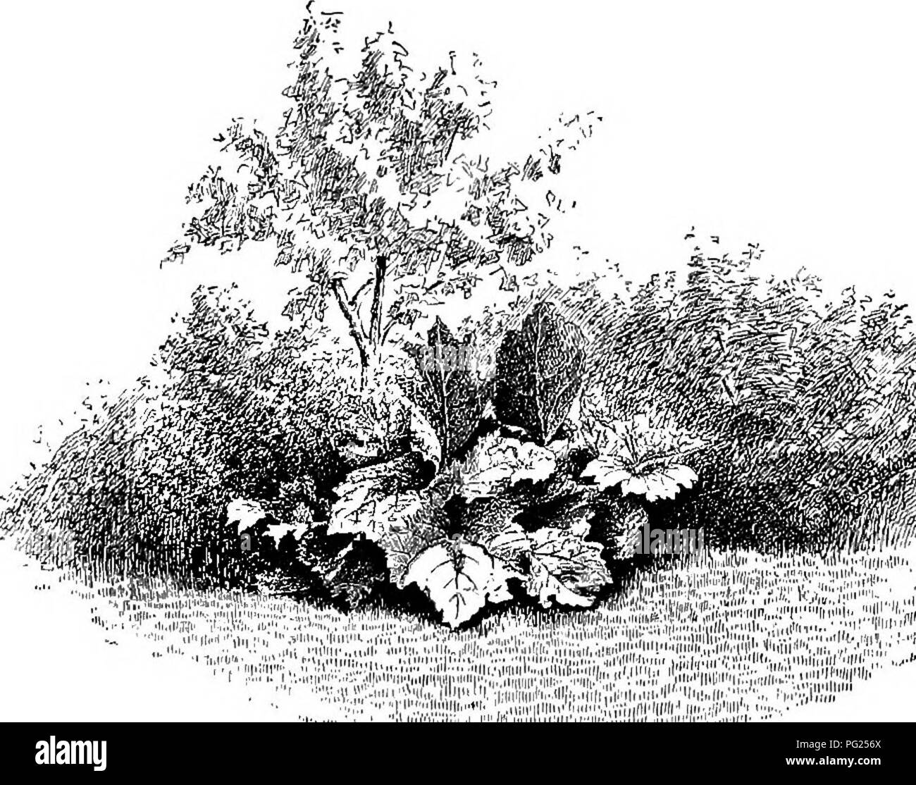 . Manual of gardening : a practical guide to the making of home grounds and the growing of flowers, fruits, and vegetables for home use . Gardening. THE GENERAL PLAN OR THEORY OF THE PLACE 39 grow to few or single stems, and they are sparse and scraggly inform; but once given all the room they want and a good soil, they become luxurious, full, and comely. In most home grounds in the country the body of the planting may be very effectively composed of bushes taken from the adjacent woods and fields. The masses may then be enlivened by the addi- tion here and there of cultivated bushes, and the  - Stock Image