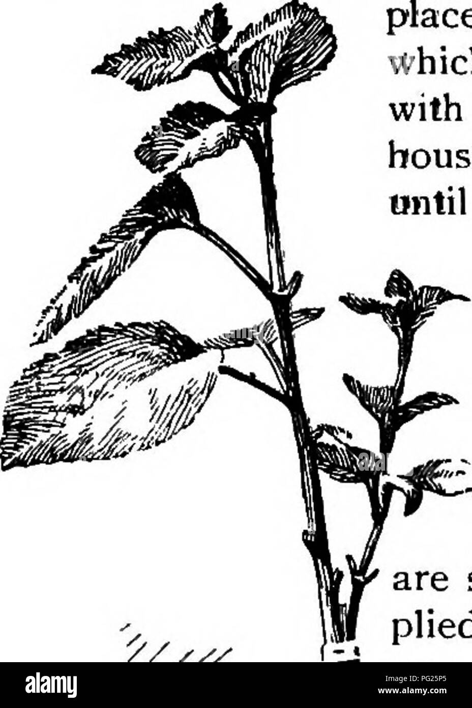 . The nursery-book; a complete guide to the multiplication of plants ... Gardening; Plant propagation. VENEER AND SIDE-GRAFTS. 115 and growing cions are used. All plants in fall sap must be placed under a frame in the house, in vfhich they can be almost entirely buried with sphagnum, not too wet, and the house must be kept cool and rather moist until the cions are well established. Some species can be transferred to the open border or to nursery rows in the spring, but most plants which are grafted in this way are handled in pots during the follow-' -.^ing season. Rhododendrons, Ja^ panese map - Stock Image