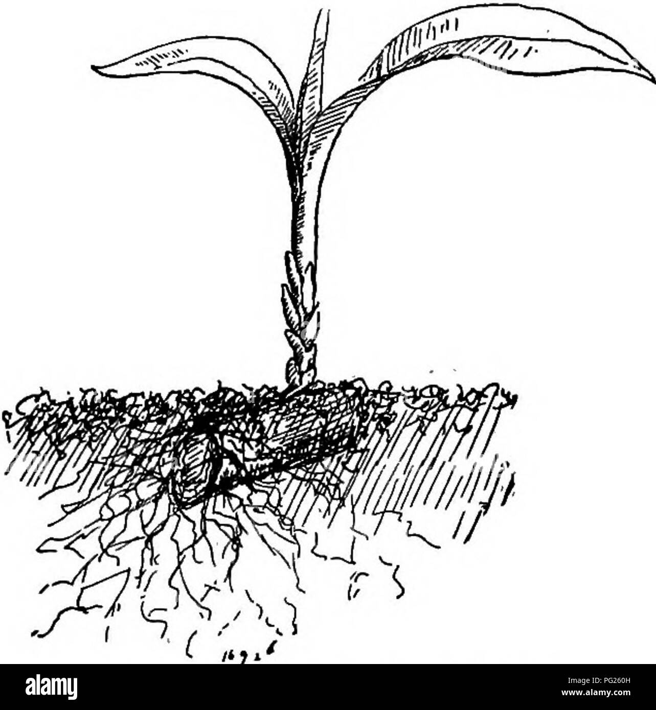 . The nursery-book; a complete guide to the multiplication of plants ... Gardening; Plant propagation. CUTTINGS OF ROOTS. 6l tings possess no buds whatever, the buds developing after the cutting is planted. Roots are cut into pieces from i to 3 inches long, and are planted hori- zontally in soil or moss. These cut- tings thrive best with bottom heat, but blackberries and some other plants grow fairly well with ordi- nary outdoor treatment. A root cutting of the blackberry is shown in Fig. 62. (See Blackberry, in Chapter VI.) A growing dra- caena root cutting is exhibited in Fig. 63. The cuttin - Stock Image