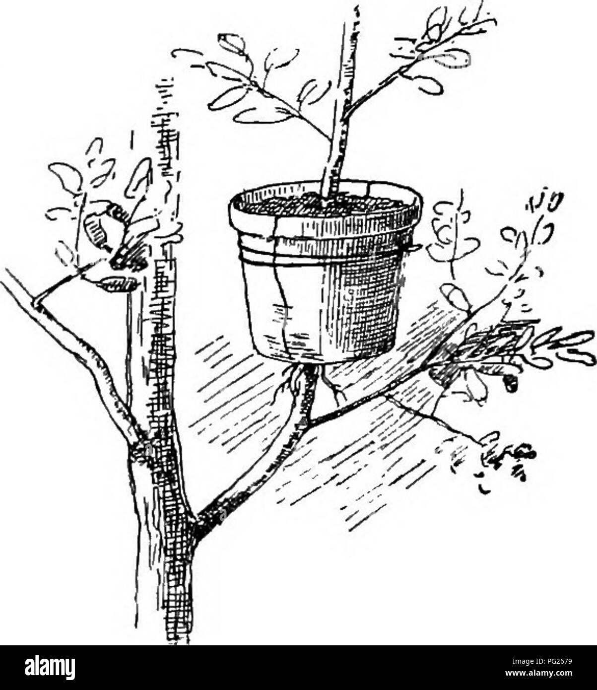 """. The nursery-book; a complete guide to the multiplication of plants ... Gardening; Plant propagation. 40 LAYERAGE. shrubs may be layered in the fall, either early or late, and if an incision is made, a callus will have formed by spring. If rapid multiplication is desired, the soft and growing shoots may be layered during the summer. This opera- tion is variously known as """"summer,"""" """"her- baceous,"""" """"green"""" and """"soft"""" layering. Comparatively feeble plants usually result from this practice, and it is not in common favor. In glass houses,. 34. Pot-layerage.  - Stock Image"""