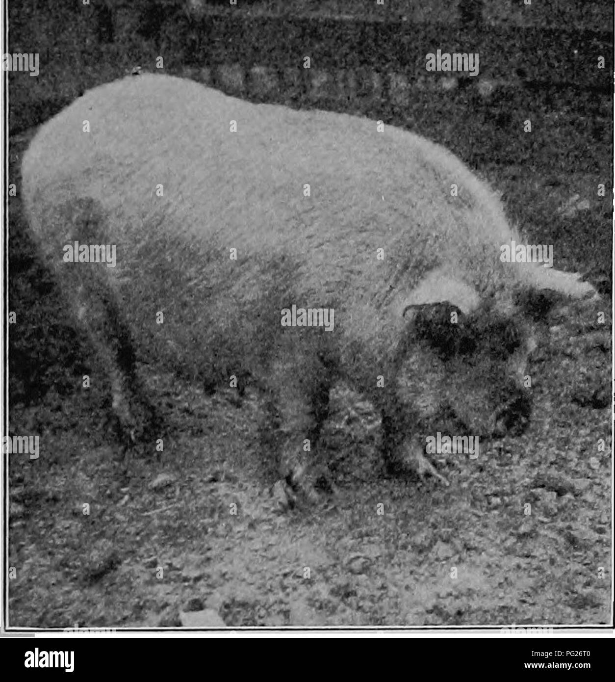 Yorkshire pig stock photos yorkshire pig stock images alamy the diseases of animals a book of brief and popular advice on the care publicscrutiny Choice Image