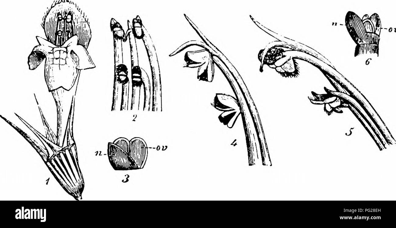 . Handbook of flower pollination : based upon Hermann Mu?ller's work 'The fertilisation of flowers by insects' . Fertilization of plants. LABIATAE 291 ably in front. The secretion is sheltered in the lowest part of the corolla-tube. Each anther-lobe dehisces by a single valve. Kemer describes the lobes as resembling boxes provided with covers, which spring open when touched so that pollen falls out. This, however, can only be effected by bees of a size corresponding to the dimensions of the flowers, and it is only these that get their backs dusted with pollen. Gynomonoe- cism occasional, gynod - Stock Image