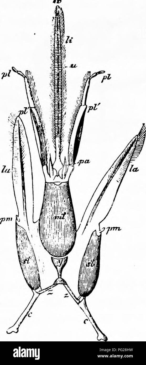 . Handbook of flower pollination : based upon Hermann Mu?ller's work 'The fertilisation of flowers by insects' . Fertilization of plants. Fig. 66. Head of humbh-bec iafter Herm. Muller). (i) Hcaii of Bombus agroram F. ?, with completely extended and widely separated mouth-parts; seen from above (x 5). (2) Mouth.parts of the honey-bee in the same condition; seen from below (x 12). //', The two basal joints of the labial palps, which are modified to form part of the ligular sheath ; w, the membranous lappets at the tip of the ligula; x^ the piece which cocrs the mouth-opening, which lies betwee - Stock Image