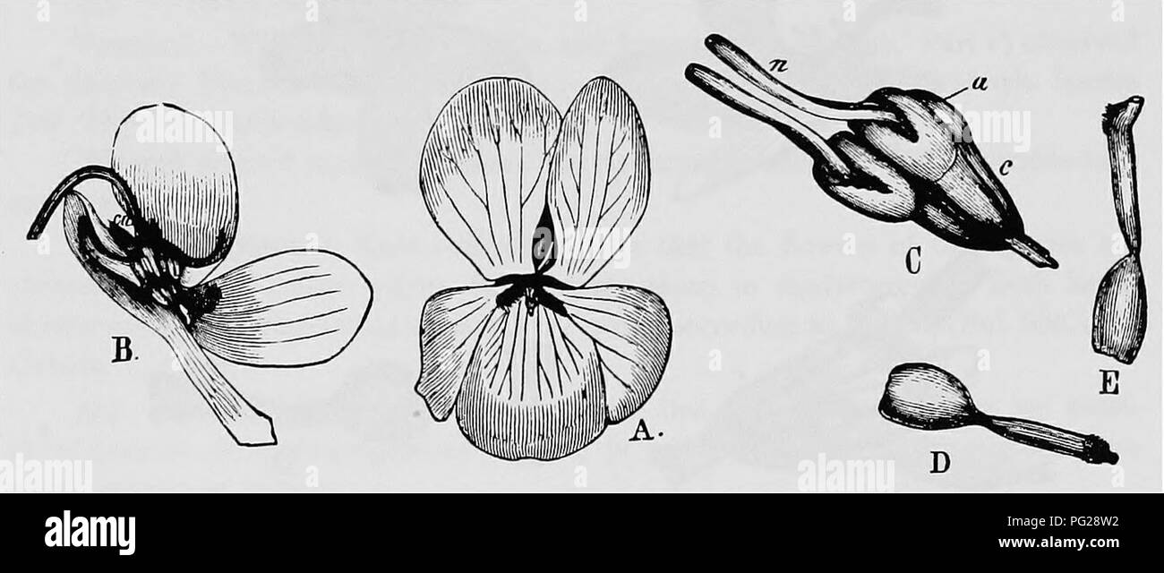 . Handbook of flower pollination : based upon Hermann Mu?ller's work 'The fertilisation of flowers by insects' . Fertilization of plants. 142 ANGIOSPERMAE—DICOTYLEDONES This head, however, rests on a hair-fringed groove in the lower petal, into which the pollen falls either of itself or owing to the pressure of the insect. The proboscis—as it passes along the groove—gets dusted with pollen on its under-side. The three following varieties may be distinguished.— (a) V. vulgaris Koch. This variety possesses large flowers, 20-30 mm. long and 14-16 mm. broad. The petals are longer than the calyx, a - Stock Image