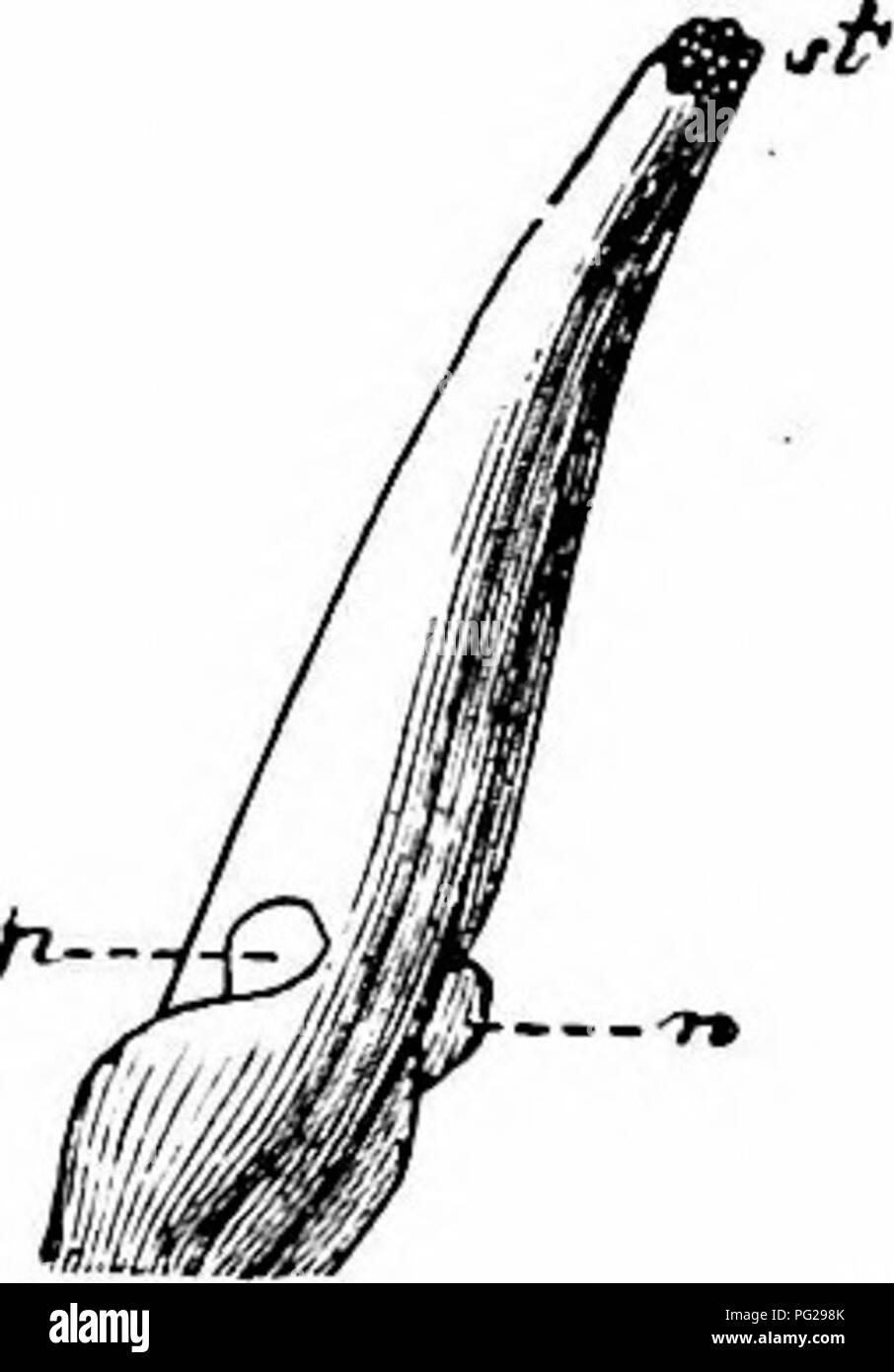 . Handbook of flower pollination : based upon Hermann MuÌller's work 'The fertilisation of flowers by insects' . Fertilization of plants. 34 ANGIOSPERMAEâDICOTYLEDONES 75. C. palustris L. (Knuth, 'Bl. u. Insekt. a. d. nordfr. Ins.,' p. 147; Sprengel, ' Entd. Geh.,' p. 298; Herm. Miiller, 'Fertilisation,' pp. 79-80, ' Weit. Beob.,' p. 322, ' Alpenblumen,' pp. 135-6; Kirchner, 'Flora v. Stuttgart,' p. 270; Beyer, ' D. spont. Bewegungen d. Staubgefasse u. Stempel'; Schulz, ' Beitrage,' 11, p. 179; Haussknecht, Mitt, geogr. Ges., Jena, vi, 1887.)âIn the large egg-yolk yellow flowersâwhich spread o - Stock Image