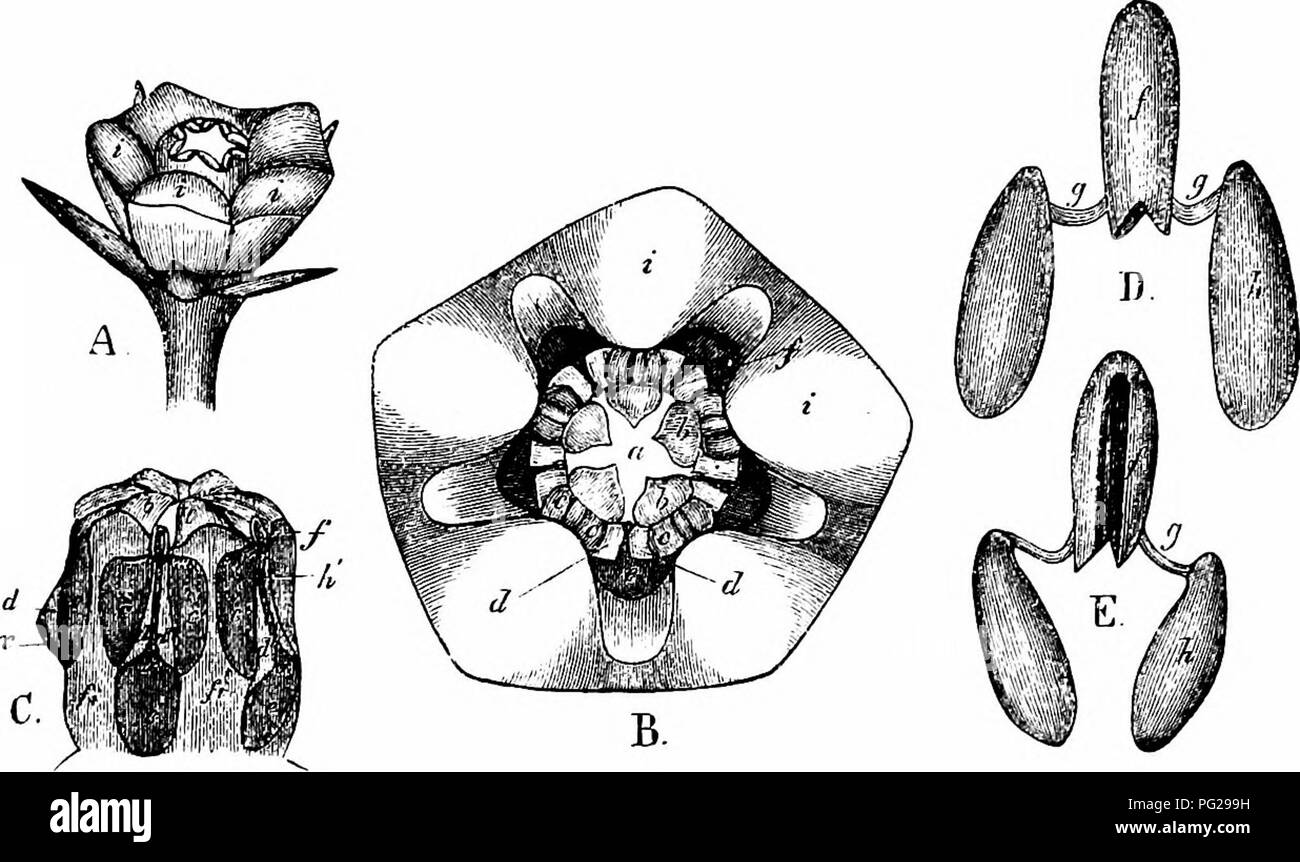 . Handbook of flower pollination : based upon Hermann Mu?ller's work 'The fertilisation of flowers by insects' . Fertilization of plants. ASCLEPIADEAE 91 inevitably held fast in the clip. The visitor will then draw back its proboscis with a jerk, pulling away the clip with the two connected poUinia, and carrying them off. When first extracted from their loculi the poUinia are wide apart, but the bands connecting them with the clip twist inwards as they dry, bringing the poUinia so close together that they can easily be introduced into a slit. Should the insect now visit another flower the poUi - Stock Image