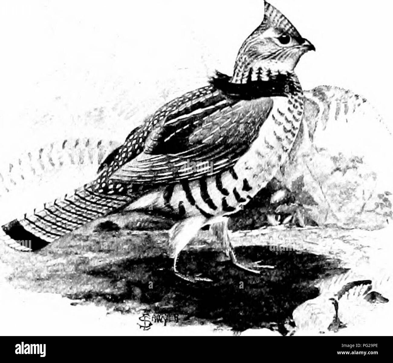 """. The American natural history; a foundation of useful knowledge of the higher animals of North America. Natural history. 2-1:4 ORDEKS OF BIRDS—UPLAND GAME-BIRDS the Ruffed (Irouse should be called Ijy that name, and no other! It is called """"Ruffed"""" because of the ruff of feathers that it wears just in front of its shoulders, and under the name """"Redruff"""" this bird has been most charmingly introduced by Mr. Ernest Thompson i^eton to many thou- sand readers who never had known it previously. This (Jrousc is in every respect a forest-bird. Its ideal homo is mixed forest of hard - Stock Image"""