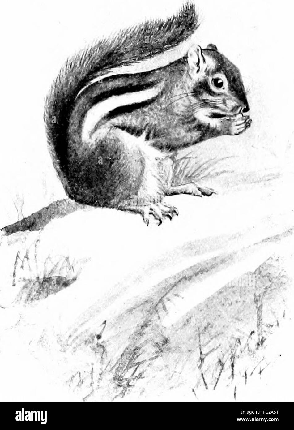 . The American natural history; a foundation of useful knowledge of the higher animals of North America. Natural history. 72 ORDERS OF MAMMALS—GXAWING ANIMALS inches, tail, 14^- inches, and it weighs 4-'r pounds. The most hcautiful sciuirrel in the world is Prevost's Squirrel' of the Malay Peninsula, a species about the size of a small gray squirrel. Its colors form a beautiful pattern of gray, brown, black, white and buft'. Rock Squirrels, or Chipmunks. Next below the tree squirrels comes a large group of small squirrels which live on the ground,. EASTERN CHIPMUNK. preferably amongst rocks, i - Stock Image