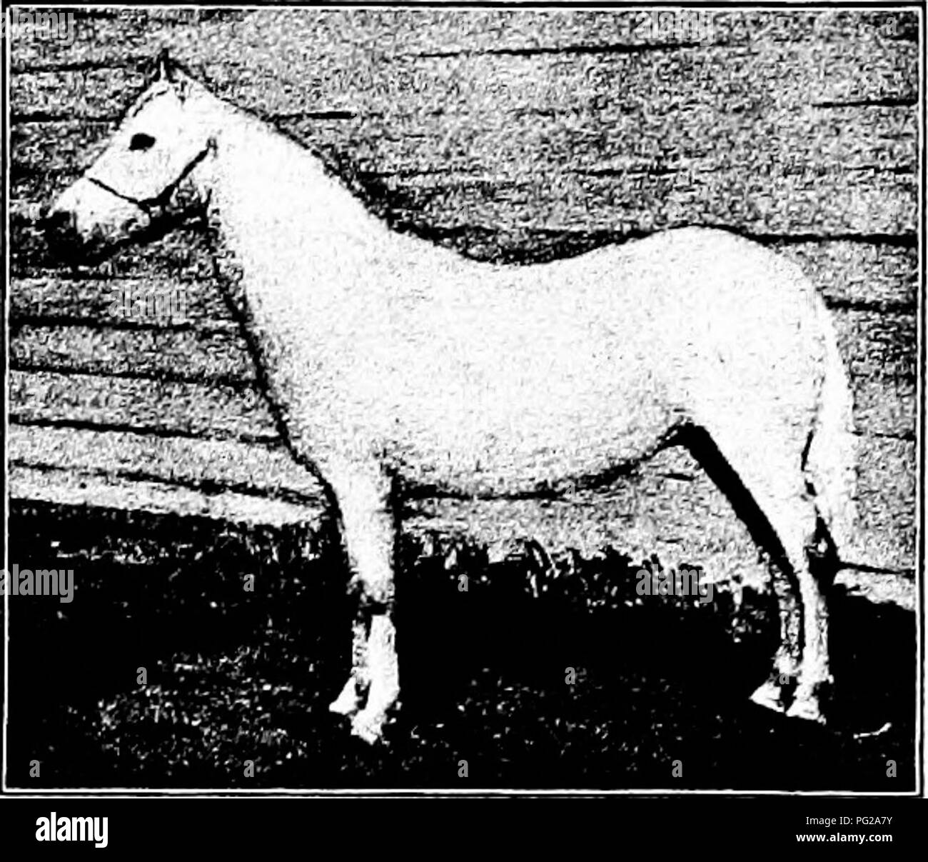 . Types and breeds of farm animals . Livestock. PONIES 147. these smaller types of Welsh horses. This society divides these ponies or small horses into four groups as follows: 1. Welsh mountain pony. Height not to exceed I2i hands. Color of any sort. In type this resembles a small Arabian, pos- sessing much the same character and carriage of head, rump, and tail. It is found in the more hilly sections, and has great bone and superior muscle and en- durance. No doubt it was originally improved by Arab stallions. 2. Should range from 12 to 13^ hands, is of the cobby type, and is not as well ada - Stock Image