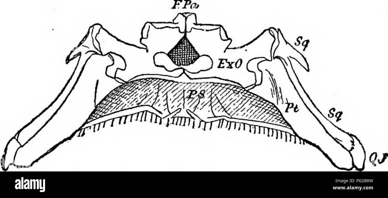 Bony Fish Black And White Stock Photos Images Alamy Anatomy Diagram Cope Papers 1871 1897 Zoology Paleontology 223