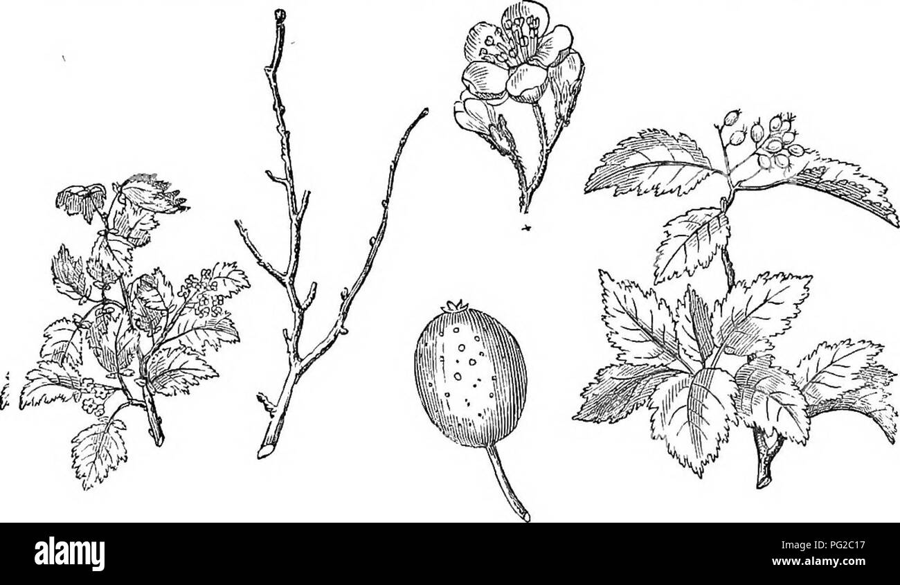 . Trees and shrubs : an abridgment of the Arboretum et fruticetum britannicum : containing the hardy trees and schrubs of Britain, native and foreign, scientifically and popularly described : with their propagation, culture and uses and engravings of nearly all the species. Trees; Shrubs; Forests and forestry. 436 ARBORETUM ET FRUTICETUM BRITANNICUM. This tree is remarkable for the rapidity of its growth, its long broad leaves, and their woolly whiteness; and also for being one of the very latest trees, whether foreign or indigenous, in coming into leaf; being later than either the mulberry or - Stock Image