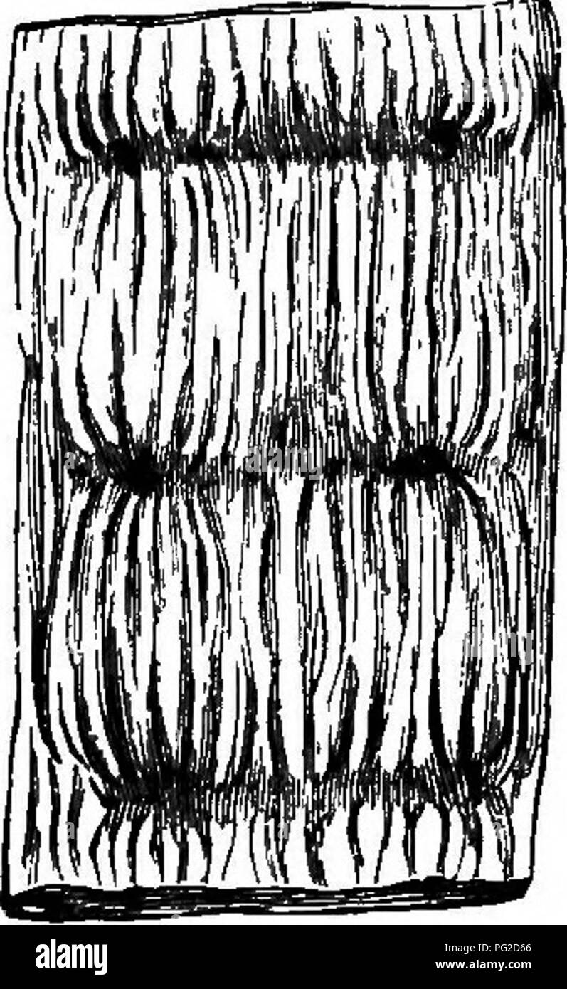. The geological history of plants. Paleobotany; 1888. Fig. 35.—Stem of Sigillaria Fig. 36.—Two ribs ot SigillaHa BrowvM. Brownii, reduced. Katural size. cylindrical cables, running for a long distance, and ctI- dently intended to anchor the plant firmly in a soft and oozy soil. They were furnished with long, cylindrical rootlets placed regularly in a spiral man- ner, and so articulated that when they dropped off they left regu- lar rounded scars. They are, in short, the Stigmarim, which we have already met with in the Erian (Figs. 38, 39). In Fig. 33 I have endeavoured to restore these strang - Stock Image
