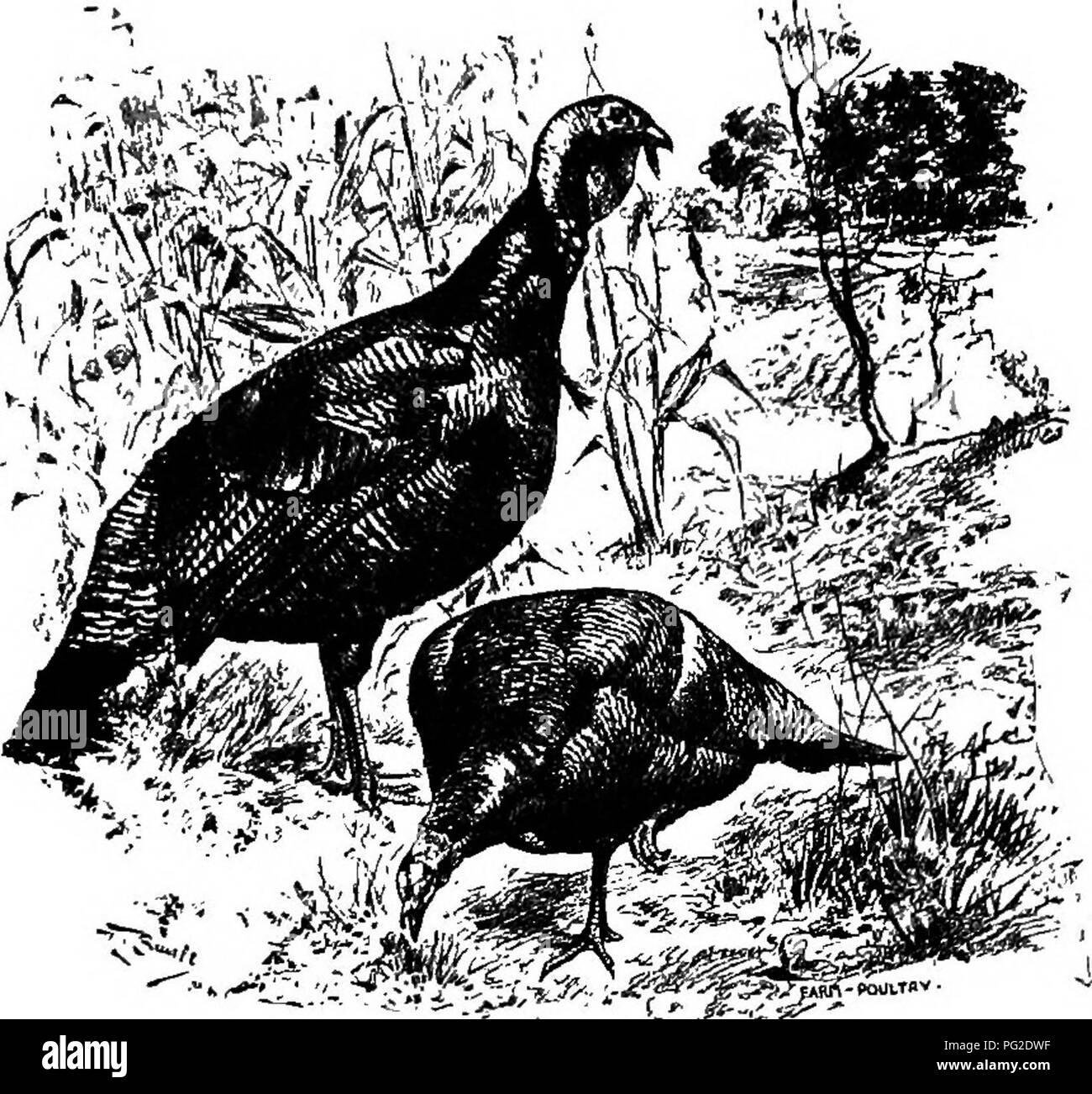 . Poultry-craft. A text-book for poultry keepers ... Poultry. PO UL TR r- CRAFT. 225 common turkeys are mostly mixtures of the varieties, or stock of pure varieties so much deteriorated that the variety characteristics are no longer distinctive. The wild turkeys still found in some parts of the country are of the sarrie species as the domestic birds, breed quite freely with them, and the introduction of wild blood has been a favored method of restoring vigor of degenerate stock. Bronze Turkeys — are the largest, hardiest, most popular, and most profitable variety. Stand- ard weights are : adul - Stock Image