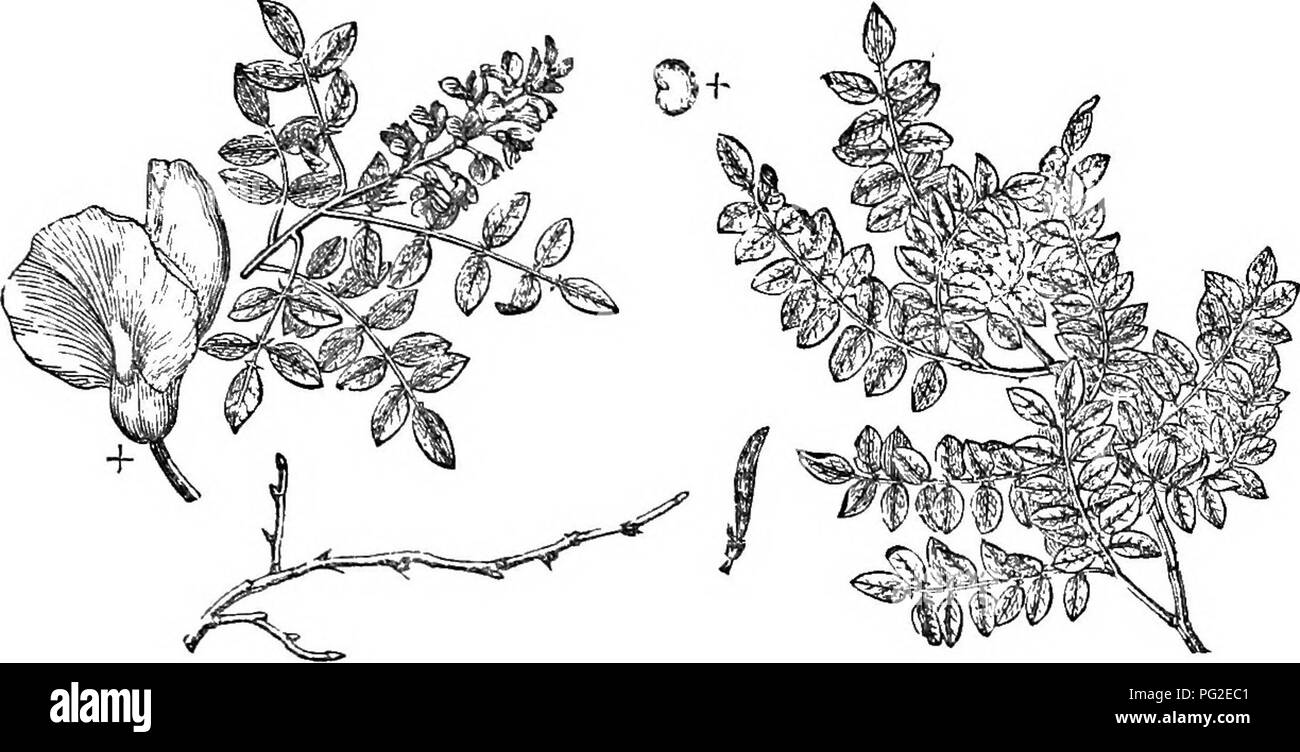 . Trees and shrubs : an abridgment of the Arboretum et fruticetum britannicum : containing the hardy trees and schrubs of Britain, native and foreign, scientifically and popularly described : with their propagation, culture and uses and engravings of nearly all the species. Trees; Shrubs; Forests and forestry. XXV. I.EGUMINa'cEJE: ROBl'N/y/ 235. 382. Robim'a Pseiid-ylc^cia. Scotch pine. According to Barlow, the strength of acacia timber, as compared with fine English oak, is as 1867 to 1672 ; the strength of ash being as 2026; beech, 1556; elm, 1013; Riga fir, 1108; Norway spar (spruce fir), 1 - Stock Image