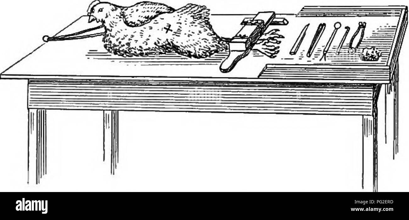 . Capons for profit: how to make and how to manage them. Plain instructions given by a beginner for the beginner. Capons and caponizing. 36 CAPONS FOR PROFIT. side of the table, next to the chick's back, as before. Then a few feathers are plucked out, the moist sponge wiped over the bared spot and the surround-. FiG. U. Bird Heady foe Second Operation. BemoTlng: Second Testicle. ing plumage, the incision made and the whole oper- ation gone through with in exactly the same manner as was done on the other side. The fowl is placed in a rather more convenient place to be operated than when lying o - Stock Image