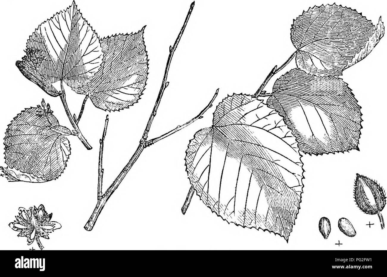 . Trees and shrubs : an abridgment of the Arboretum et fruticetum britannicum : containing the hardy trees and schrubs of Britain, native and foreign, scientifically and popularly described : with their propagation, culture and uses and engravings of nearly all the species. Trees; Shrubs; Forests and forestry. 104. Tflia aiiieriCitna pub^scens. On a general view of the trees, the most obvious external differential cha- racteristics of the European and American limes appear to us to be, that the former have regularly cordate, and the latter obliquely cordate, leaves. The other American limes we - Stock Image
