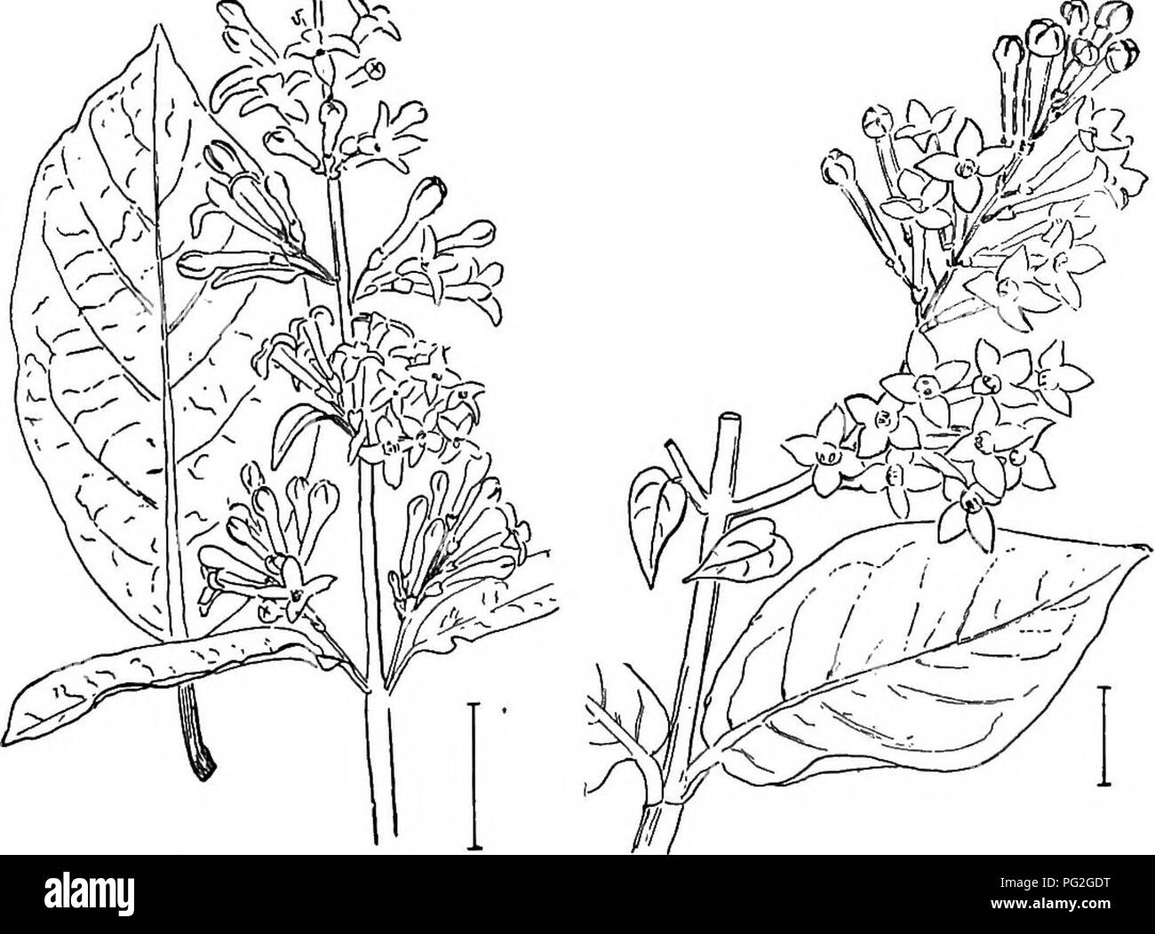 . Ornamental shrubs of the United States (hardy, cultivated). Shrubs. Fig. 477. — Common Lilac.. Fio. 478. — Himalayan Lilac. Fig. 479. —Thick-leayed Lilac.. Please note that these images are extracted from scanned page images that may have been digitally enhanced for readability - coloration and appearance of these illustrations may not perfectly resemble the original work.. Apgar, A. C. (Austin Craig), 1838-1908; Draycott, Ada (Apgar). New York, Cincinnati [etc] American Book Company - Stock Image