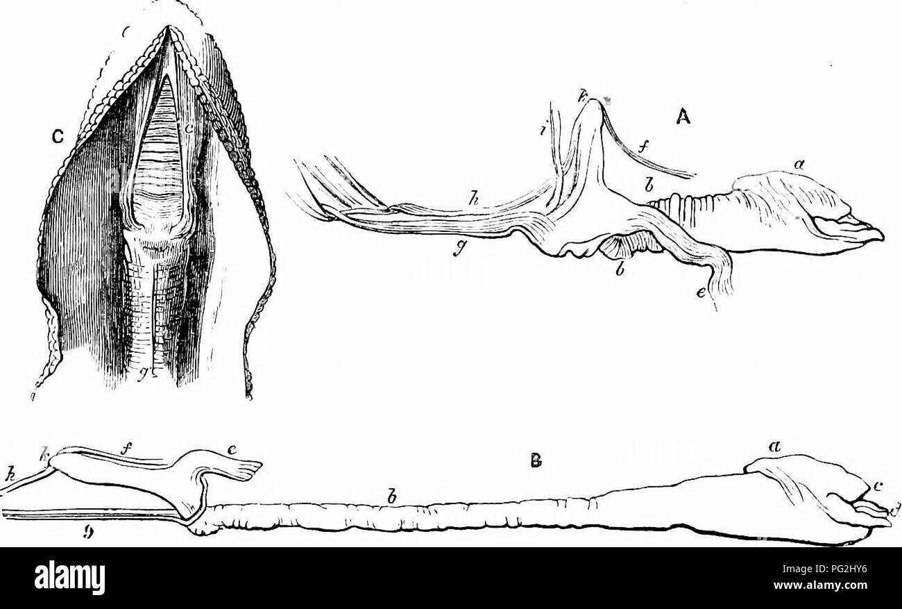 . On the anatomy of vertebrates. Vertebrates; Anatomy, Comparative; 1866. ALIMENTARY CANAL OF REPTILES. 437 retracted, fig. 297, A and C, is almost wholly supported thereby, and, when witlidrawn, the cavity of the sheath is occupied by a ductile cellulosity. The bulbous end of the tongue, fig. 296, and fig. 297, a, b, is divided by a transverse ciirved groove into a shorter upper, ib. a, and a longer lower lobe, ib. d, resembling the prehensile part of the Elephant's proboscis; the surface is finely rugous, and bedewed by adhesive secretion. Between the bulb and the base the glossohyal sheath  - Stock Image