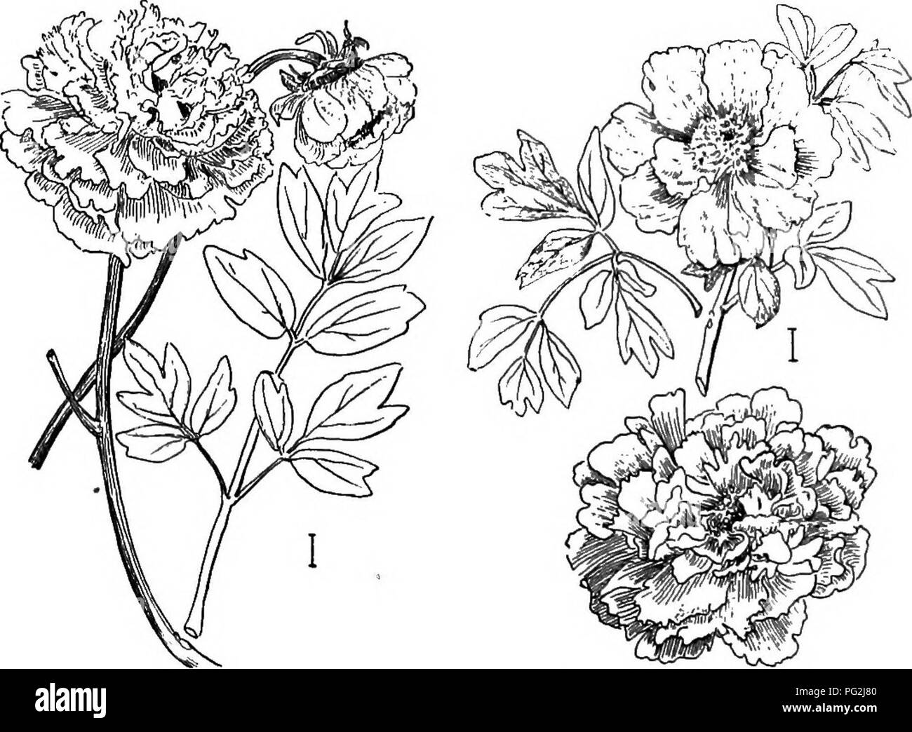 . Ornamental shrubs of the United States (hardy, cultivated). Shrubs. PART III DESCRIPTIONS OF THE SHRUBS Numbers in parenthesis in the keys and descriptions which follow refer to the figures. Bracketed information refers to methods of propagation. Paebnia. The Peonies form one of the most popular groups of plants. They are almost entirely large-ilowered herbaceous perennials, though one species is shrubby and, therefore, to be included in our book. This is called Tkee Peonv Figs. (1) and (2) — Paeonia Moutdn, — growing to the. Fig. 1. —Tree Peony. Fig. 2.—Tree Peony. height of 3 to 8 feet wit - Stock Image