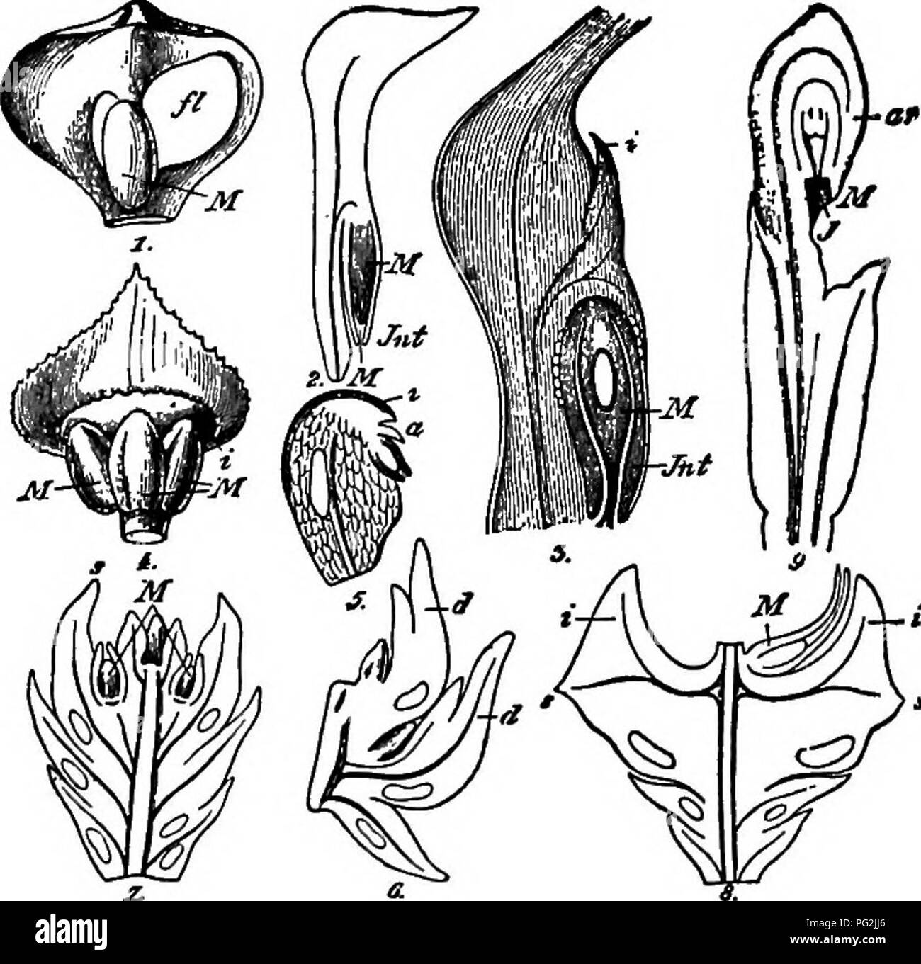 . Morphology of gymnosperms. Gymnosperms; Plant morphology. 324 MORPHOLOGY OF GYMNOSPEBUVLS In a study of the ovuliferous bracts of Saxegothaea and Micro- cachrys, Thomson (164) has discovered an inverse orientation of the vascular bundle supplying the ovule, a feature which has been used to prove the double nature of the ovuliferous structure in Pina- ceae. The same in- version, however, occurs in the supply bundle for the microsporan- gium, which is evidently borne upon a simple sporophyll. Among the Abietineae, Taxodineae, and Cupressineae, how- ever, there is a double inversion in the ovul - Stock Image