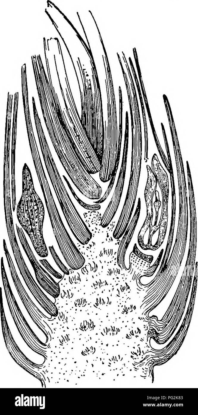 . Morphology of gymnosperms. Gymnosperms; Plant morphology. CORDAITALES 175 described by Oliver (14), and probably represent a more primitive condition of the ovule than that of the Lagenosioma type. As stated under Cycadofilicales, both types probably occurred in both Cycado- filicales and Cordaitales; but as yet only the Lagenostoma type is known to belong to the former group, and only the Stephano- spermum type has been asso- ciated with the latter group. In Cordaianihus Grand 'Euryi (fig. 209) the bractlets borne by the short ovuliferous shoot are much larger, and a very prominent and resi - Stock Image