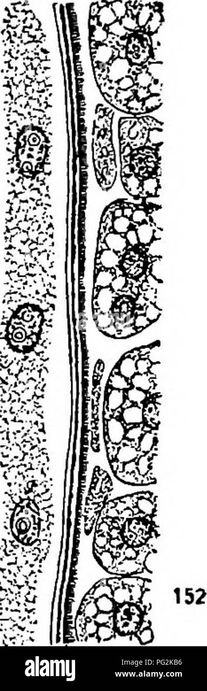 . Morphology of gymnosperms. Gymnosperms; Plant morphology. CYCADALES 139 I S3 to the endosperm, contains a substance related to pectin, toward the middle the pectin is replaced by cellulose, and the cellulose is replaced in turn by suberin in the outer part of the endospore, where it borders upon the suberized exo- spore. In structure the endospore is rather homogeneous, while the exospore is formed of little columns or fibrillae, which give it a dis- tinctly striated appearance (fig. 152). The outer walls of the endosperm cells bordering upon the endospore become suberized, and might some- t Stock Photo