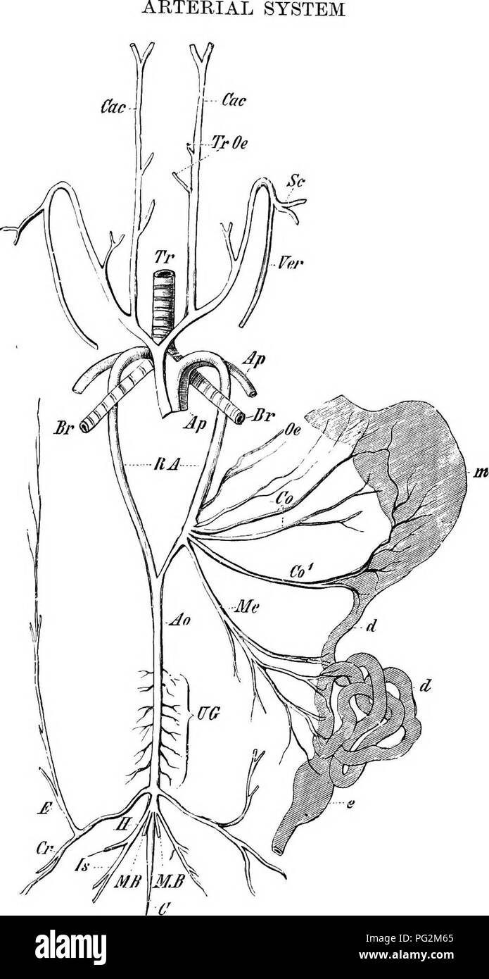 Subclavian Artery Stock Photos & Subclavian Artery Stock Images ...