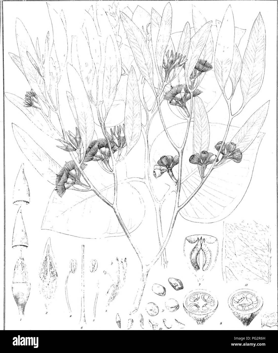. Eucalyptographia. A descriptive atlas of the eucalypts of Australia and the adjoining islands;. Eucalyptus; Botany. lodl dd. C Iro.d^: â . C' lil>. rM d-irexil Ipaai Li^Tio Gov. Praitin? Office M'^lb li'c3dj])iiE^ iF©(clii®iiâ ScIidUffr. Please note that these images are extracted from scanned page images that may have been digitally enhanced for readability - coloration and appearance of these illustrations may not perfectly resemble the original work.. Mueller, Ferdinand von, 1825-1896. Melbourne, J. Ferres, Govt. Print; [etc. ,etc. ] - Stock Image