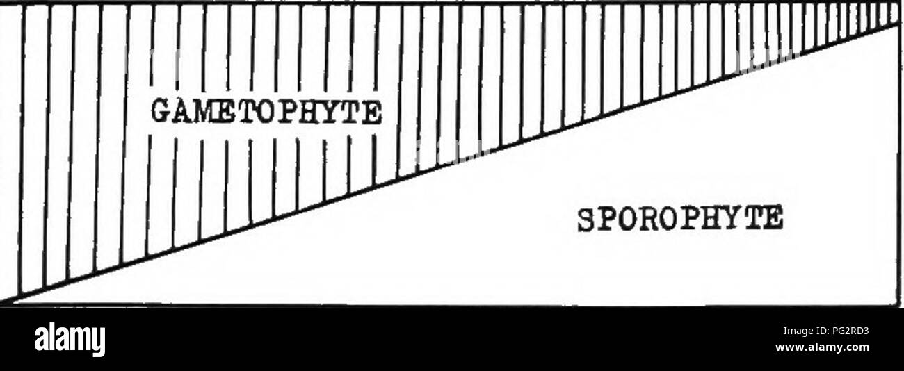 . Heredity and evolution in plants. Heredity; Plants. THE EVOLUTION OF PLANTS ^33 possible steps in the evolution of the sporophyte may, on this theory, be tabulated as follows:' 1. Sterilization of fertile tissue. 2. Localization of spore-production in sporangia. 3- Origination of lateral organs (leaves), and of roots. 4. Development of heterospory. 5- Introduction of fertihzation by the pollen-tube (siphonogamy). 6. Assumption of the^ seed-habit.. 3P0E0PHYTE Fig. 67.—Diagram illustrating the gradual change in the relative promi- nence of the gametophytic and sporophytic phases in the life-cy - Stock Image