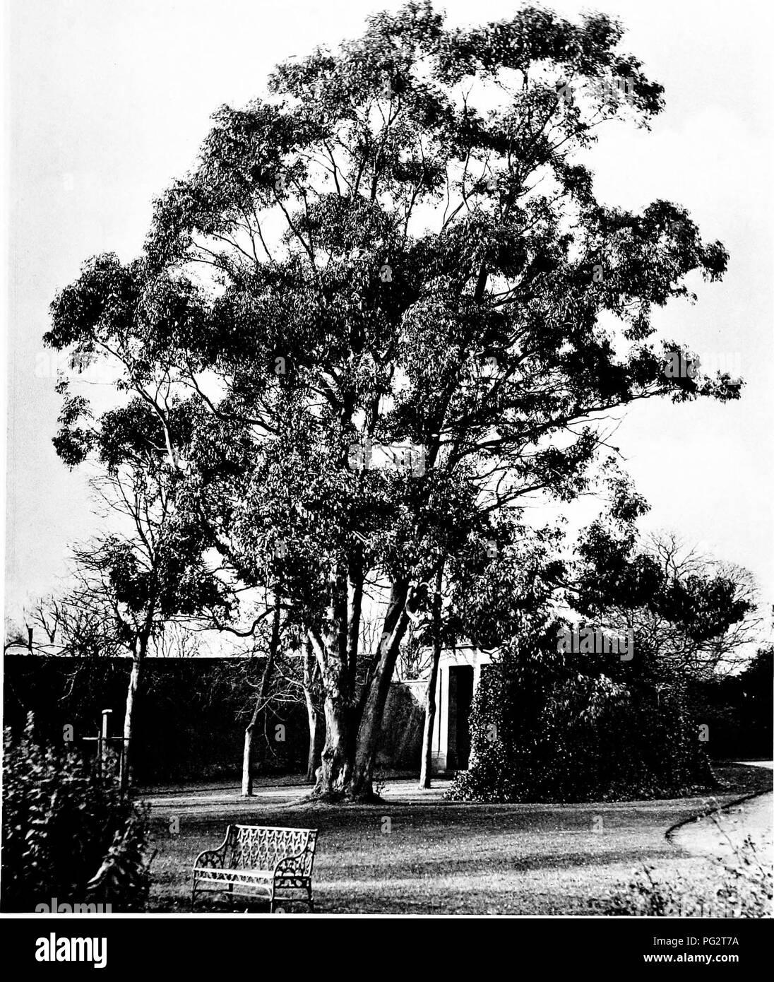 e4ecaeddada0 . The trees of Great Britain   Ireland. Trees  Trees. EUCALYPTUS  WHITTINGEHAMENSIS AT WHITTINGEHAME Plai e 363.